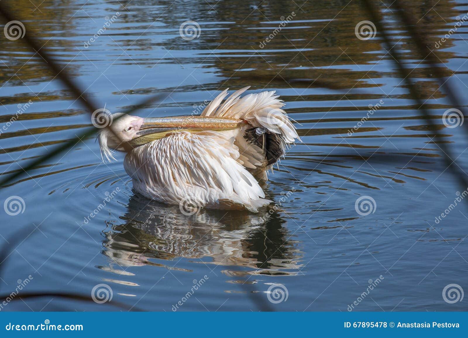 鹈鹕清洗它的在水的羽毛