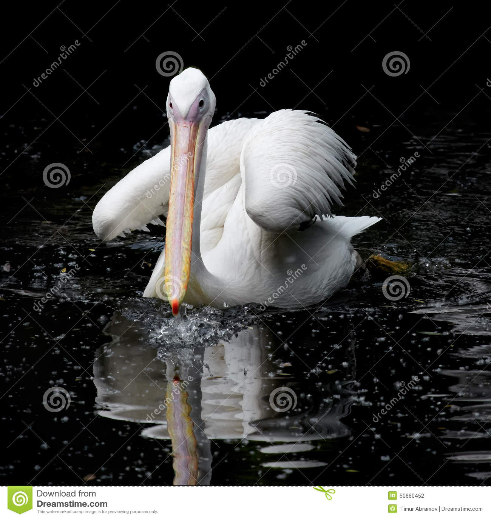 Download 鹈鹕游泳在水中 库存照片. 图片 包括有 庄严, 求知欲, 本质, 茴香, 鹈鹕, 高贵, 眼睛, axeman - 50680452