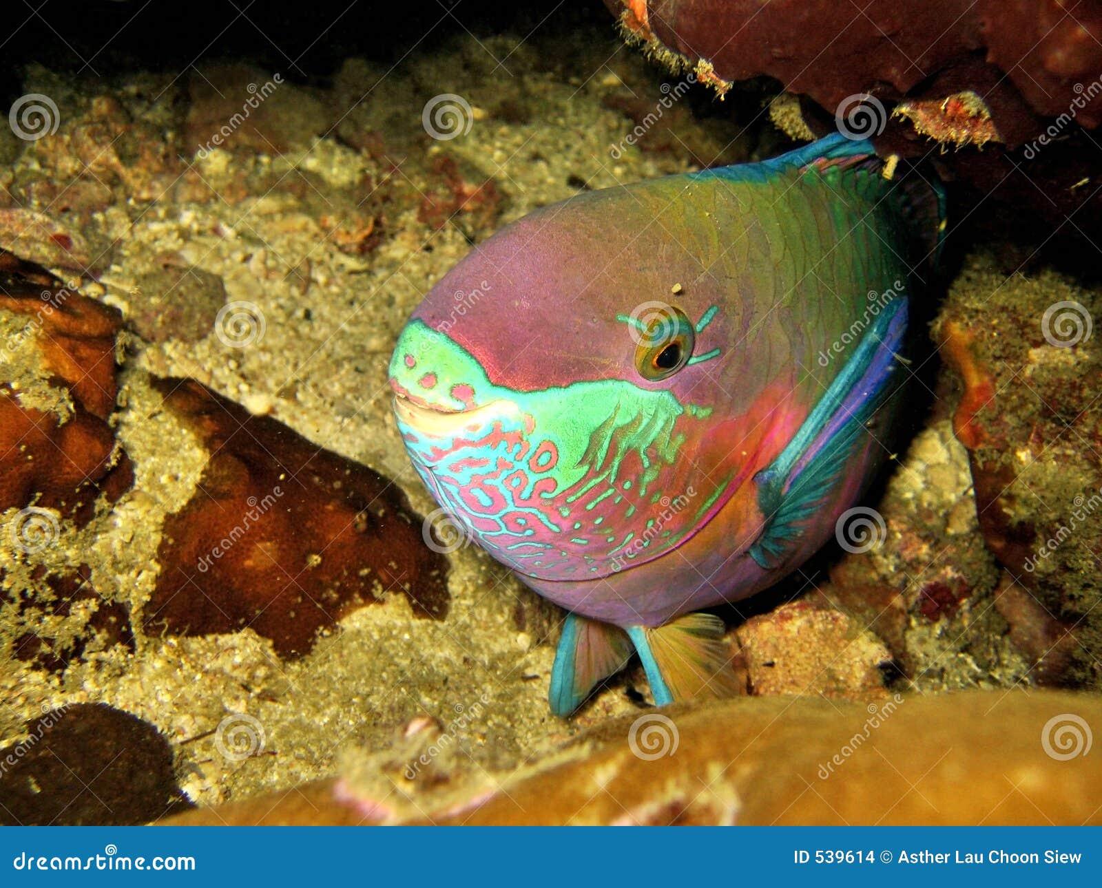 Download 鹦嘴鱼休眠 库存照片. 图片 包括有 隐藏, 晚上, 珊瑚, 海运, 海洋, 水下, 休眠, 水生 - 539614