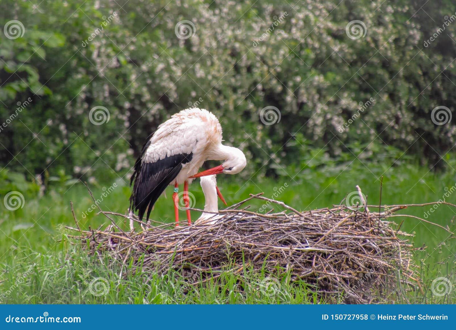 鹳在草甸和在巢