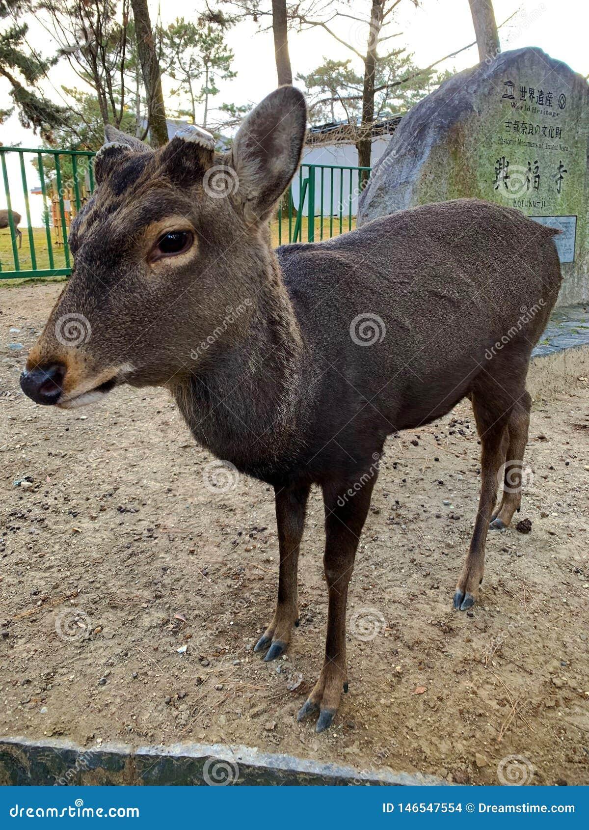鹿在奈良,日本