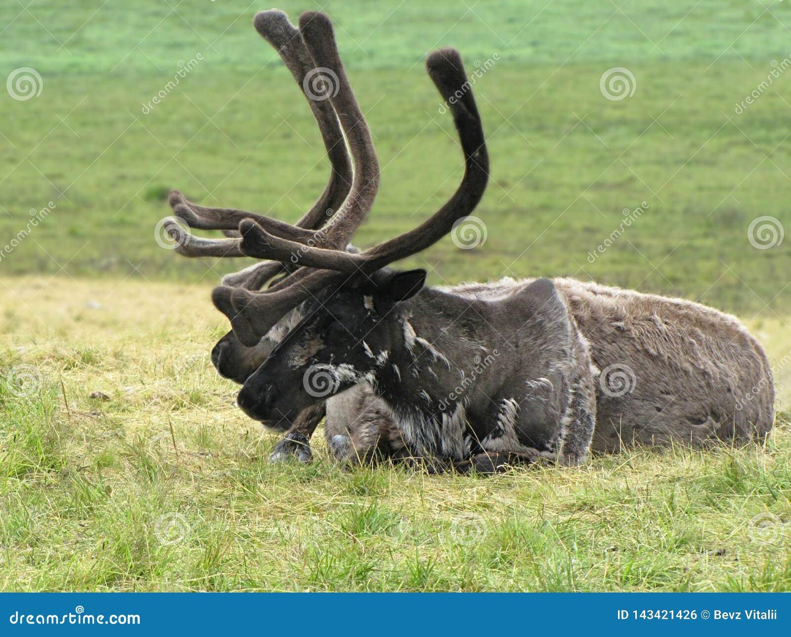 鹿在寒带草原