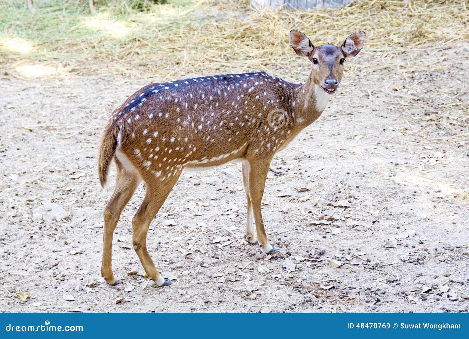 鹿执行少量其丢失到期日没有一仿造到达区域sika种类地点地点变化