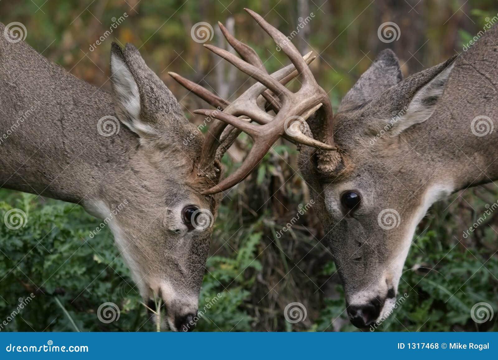 鹿男性尾标白色