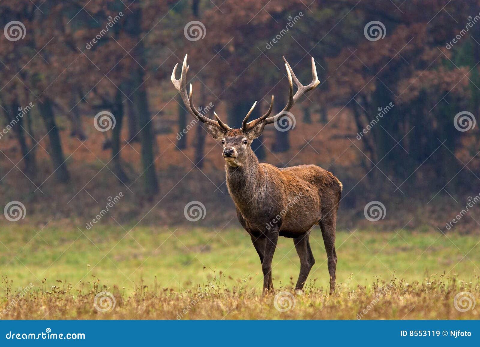 鹿红色雄鹿