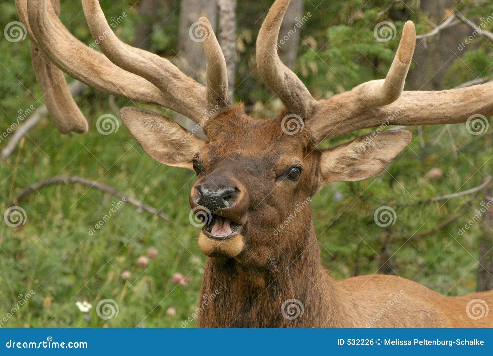 Download 麋男 库存照片. 图片 包括有 野生生物, rutting的, 本质, 秋天, 通配, 牧群, 哺乳动物, 森林 - 532226