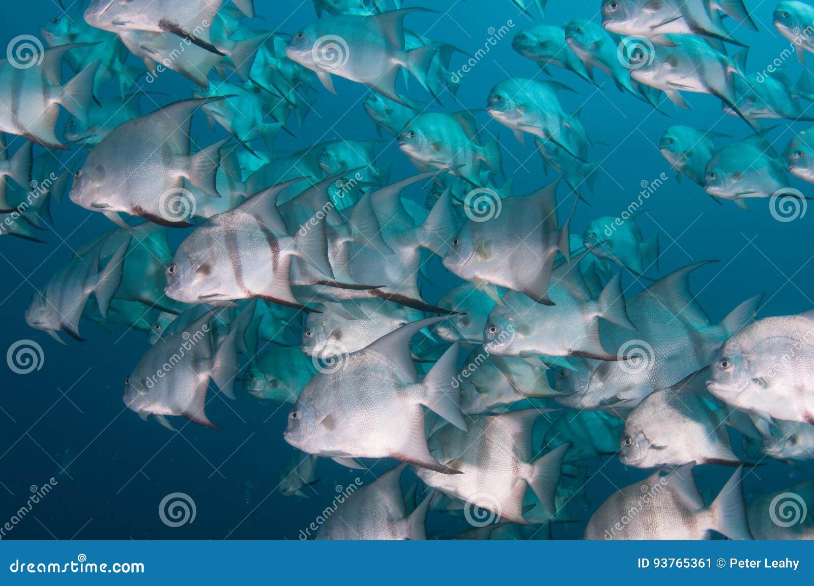 细麟白鲳游泳学校在海洋