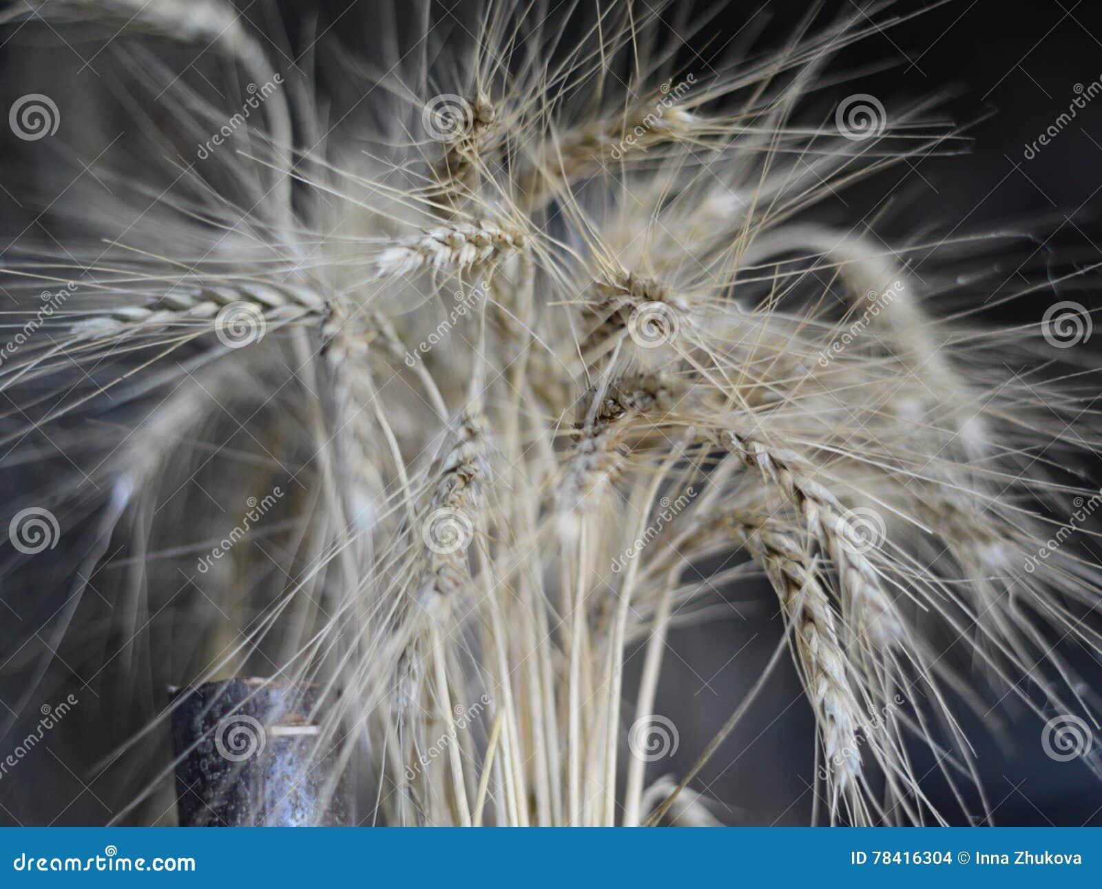麦子的耳朵在黑暗的背景的
