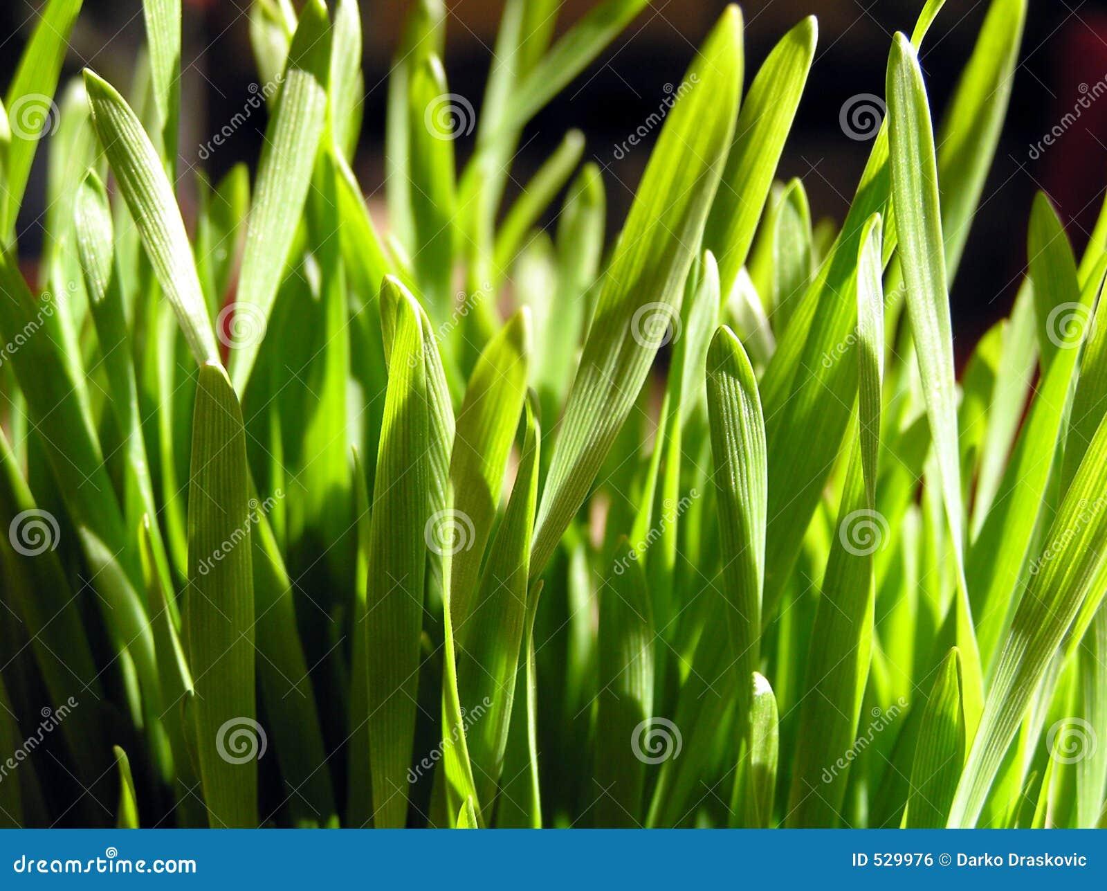 Download 麦子 库存照片. 图片 包括有 自然, 叶子, 绿色, 农场, 庭院, 健康, 绿叶素, 麦子, 有机, 食物 - 529976
