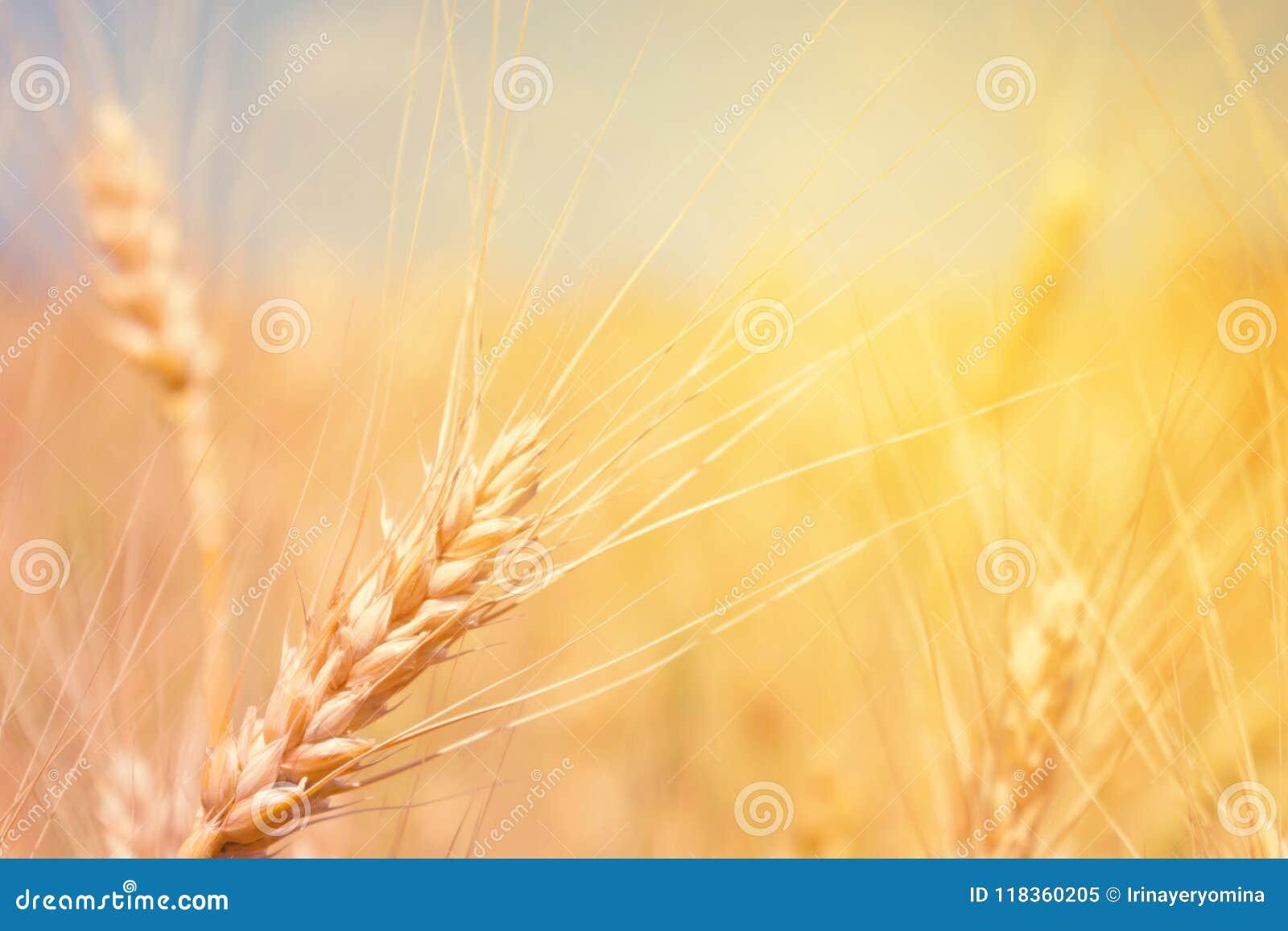 麦田自然产品 麦子的小尖峰在阳光clos的