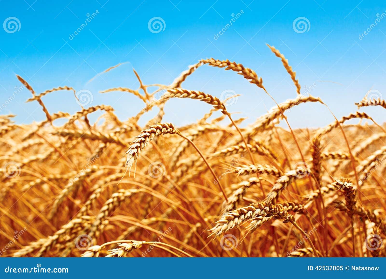 麦田,麦子新鲜的庄稼