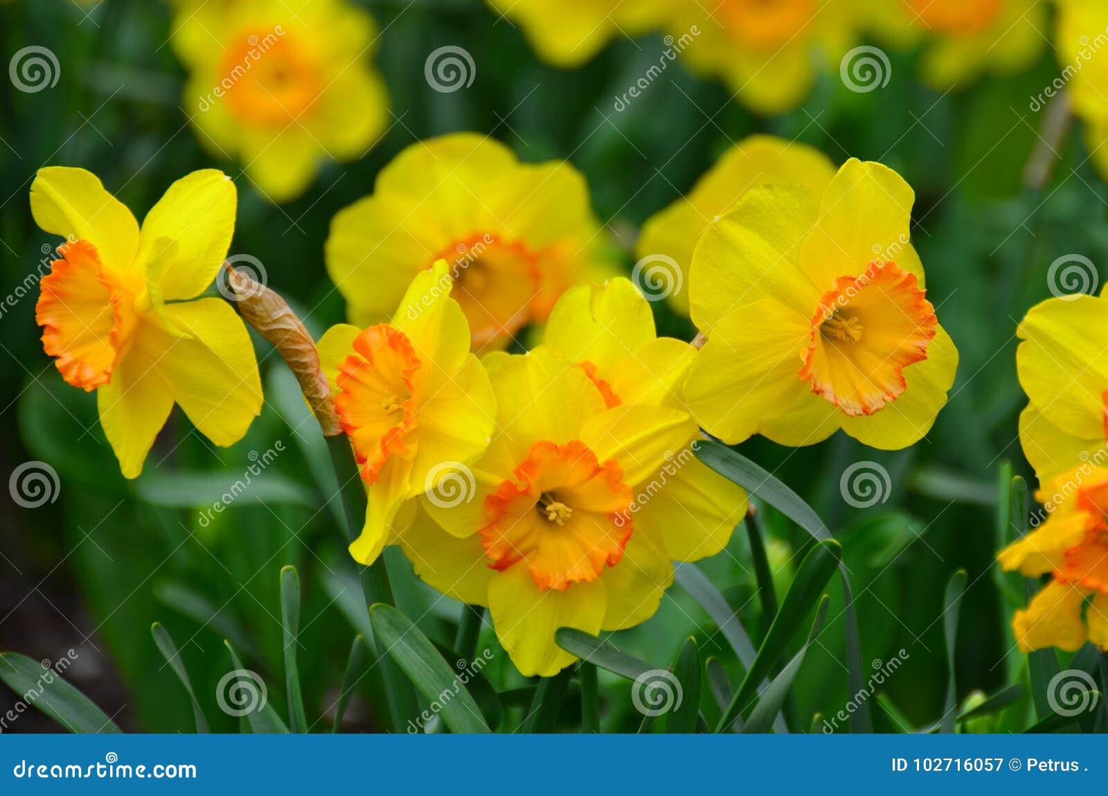 黄水仙庭院