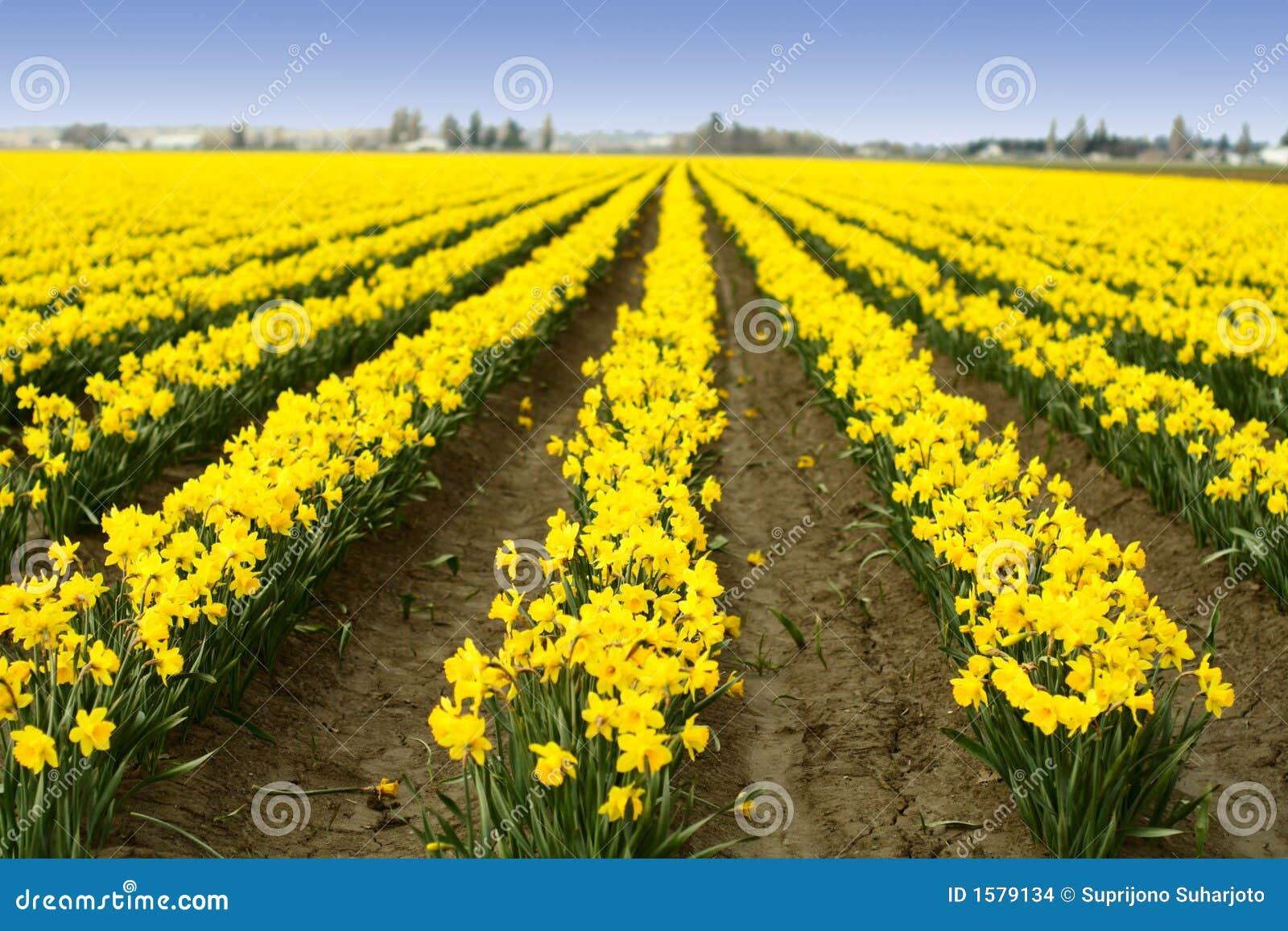 黄水仙黄色