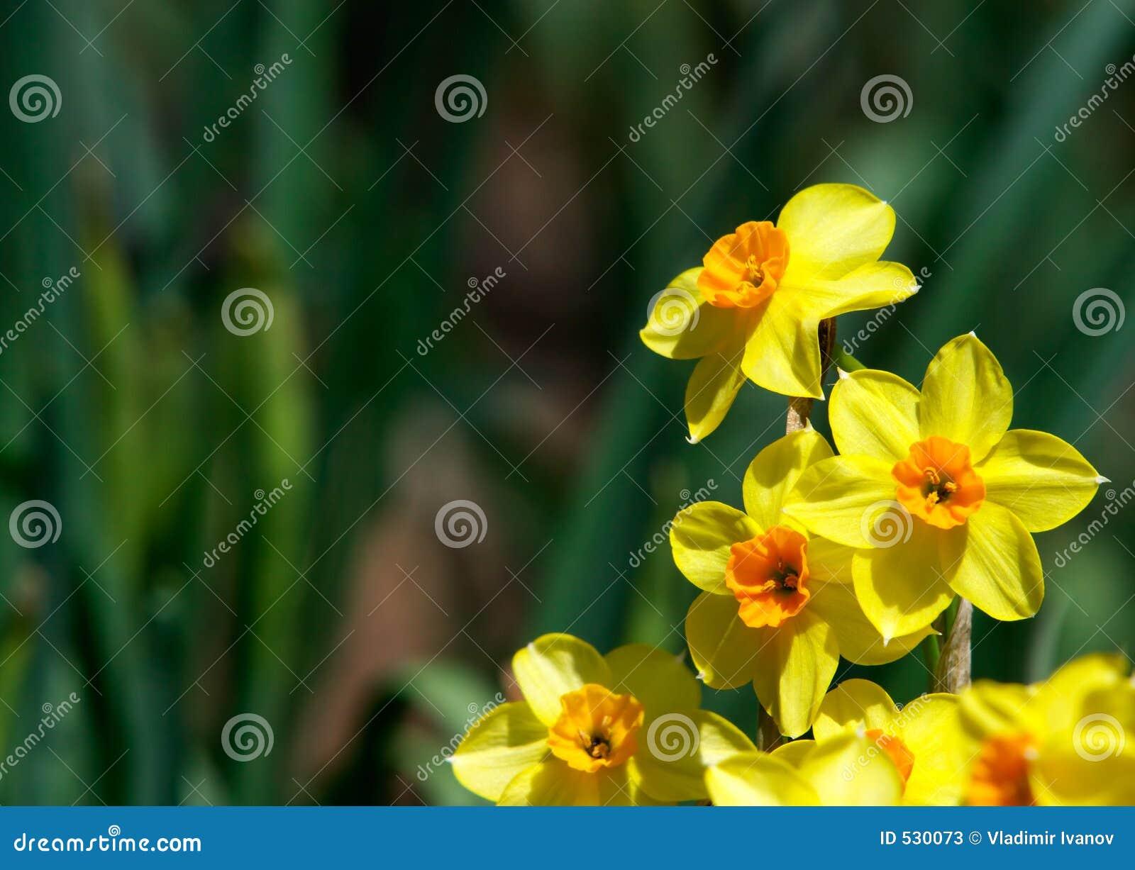 Download 黄水仙 库存图片. 图片 包括有 开花的, 黄色, 卖花人, 温暖, 过敏, 复活节, 水仙, 绽放, 庭院 - 530073