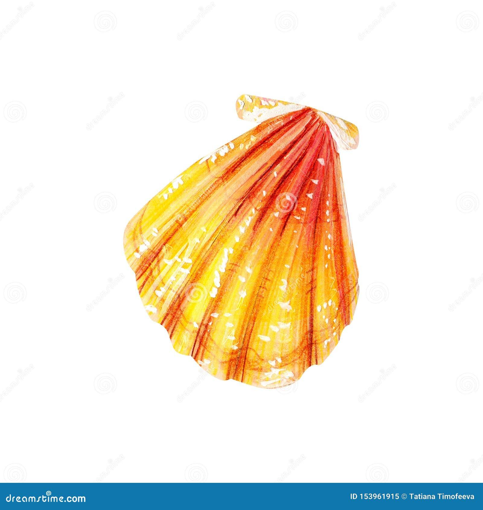 黄海壳扇贝