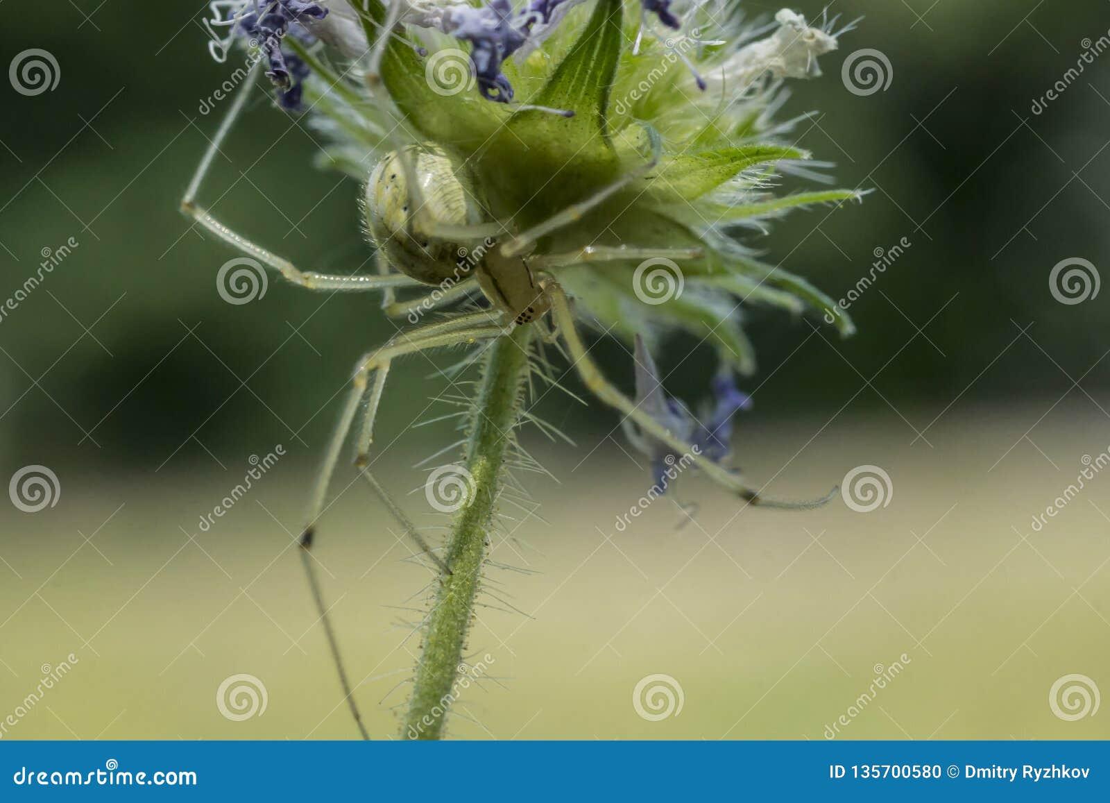 黄绿蜘蛛坐在花下