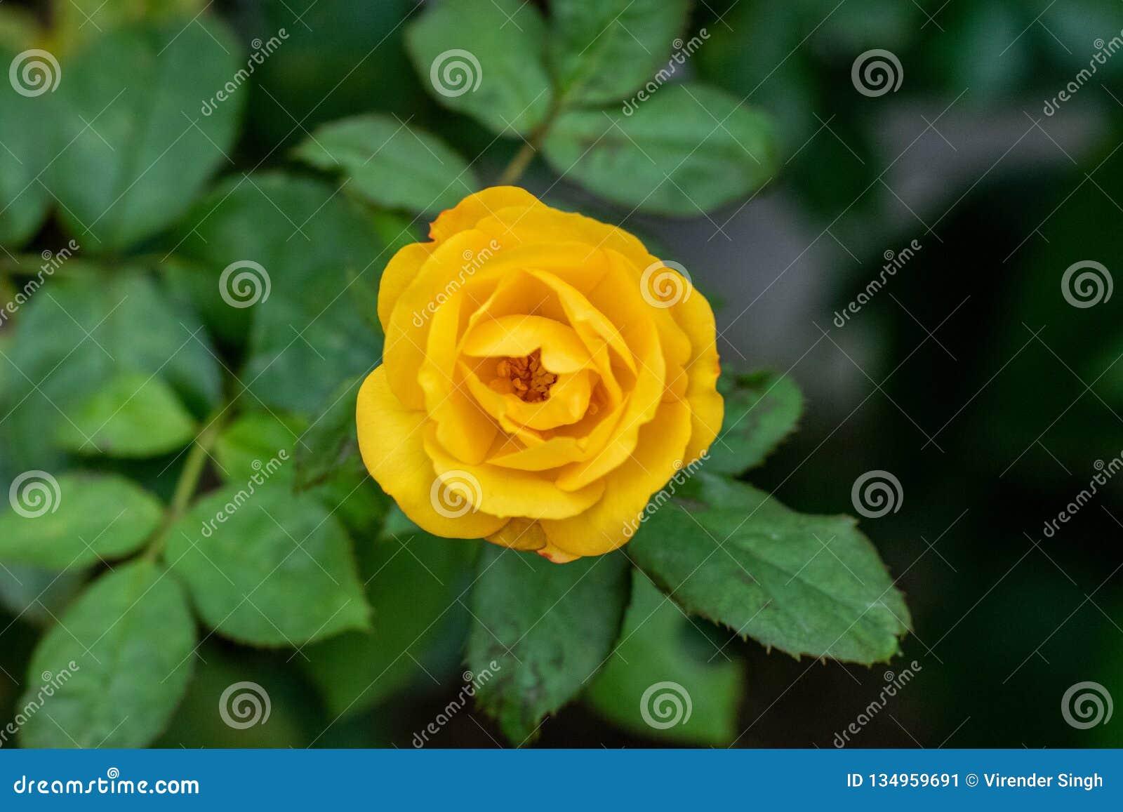 黄色上升了与开花在庭院里的绿色叶子