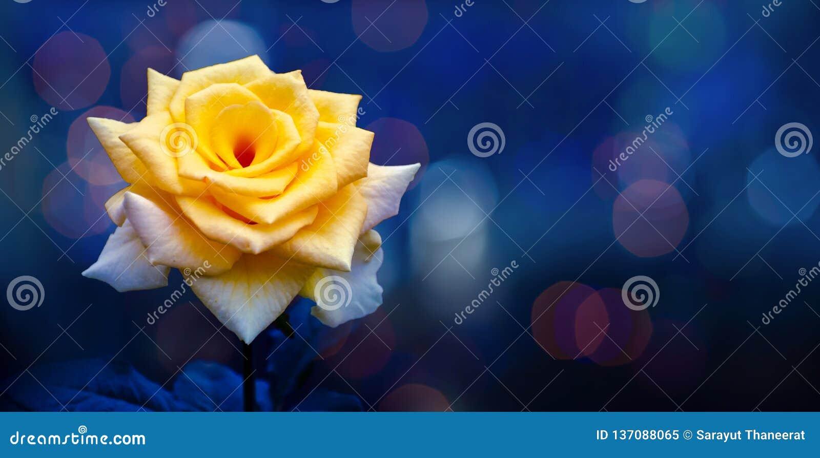 黄色上升了轻的Bokeh蓝色背景情人节