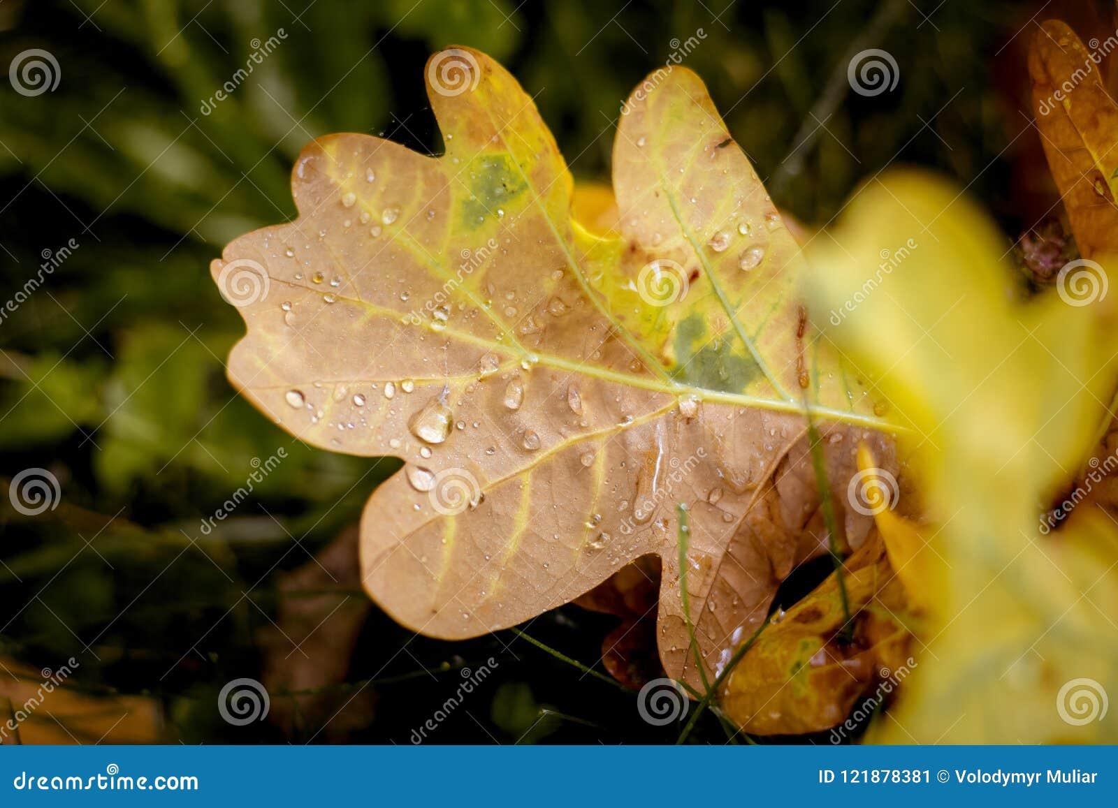 黄色叶子与露水下落的一棵橡木在ground_的