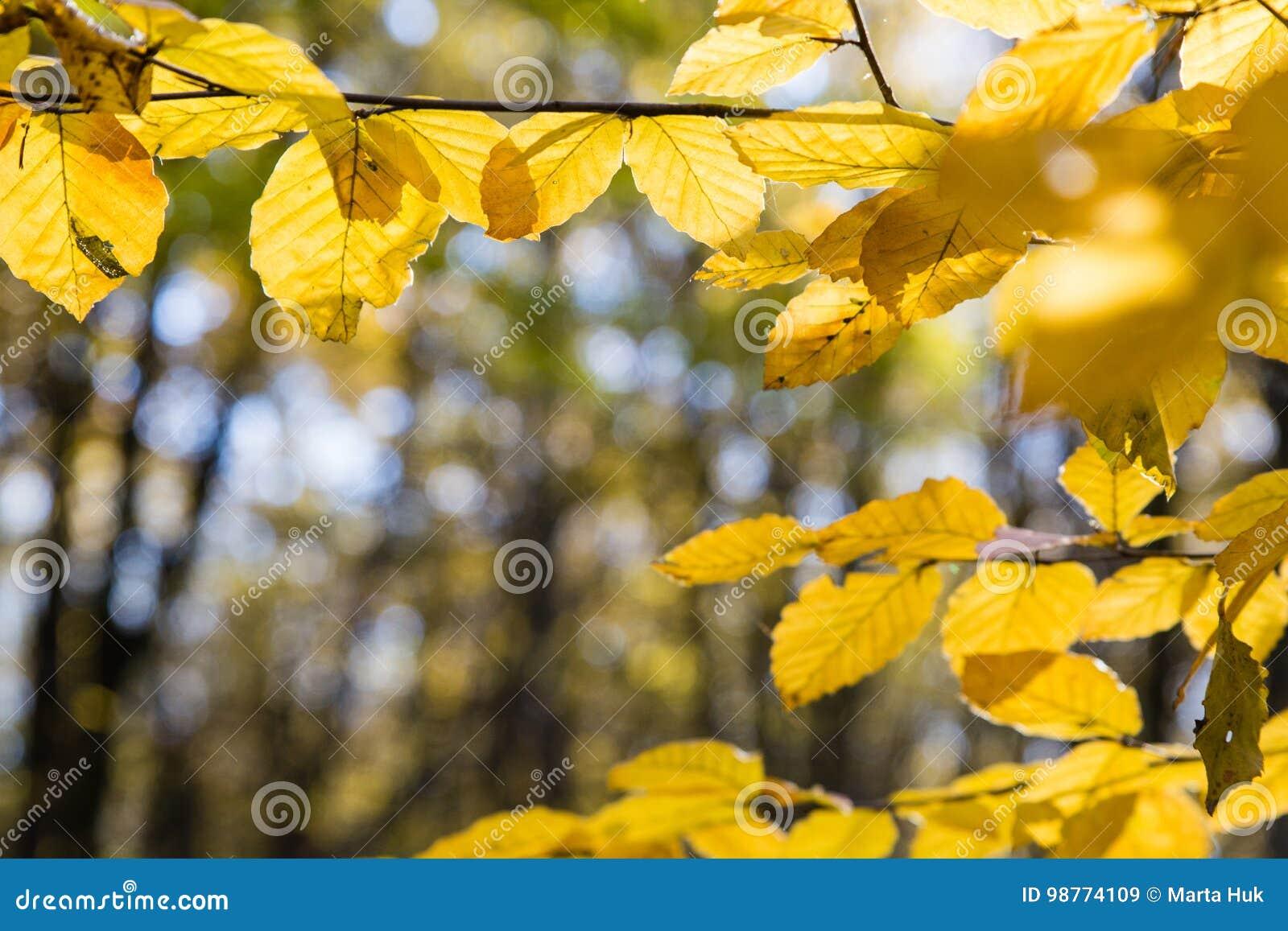 黄色叶子在阳光下在秋天森林里