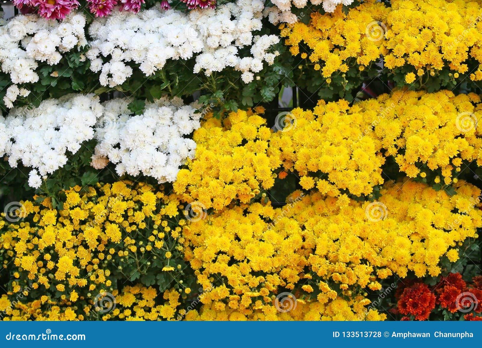 黄色和白花开花的背景,菊花开花在清迈花节日,举行在2月每年