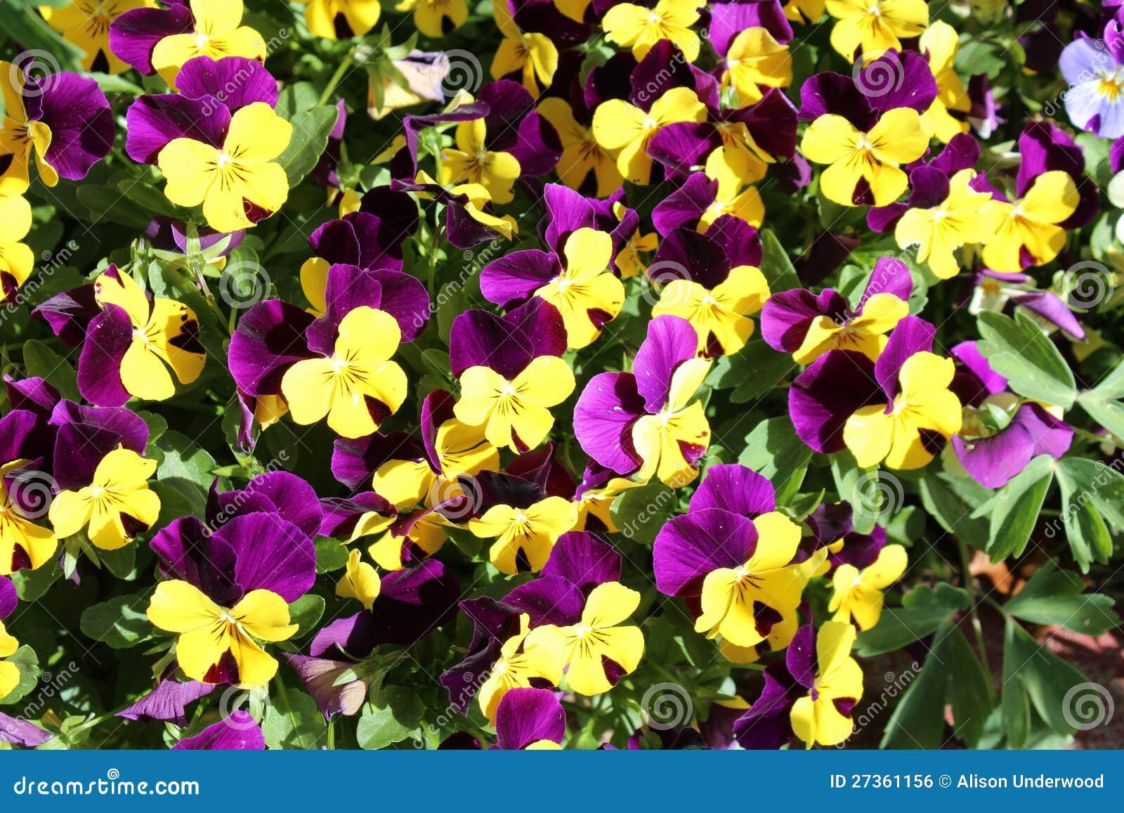 黄色和紫色Violas被集合的花圃