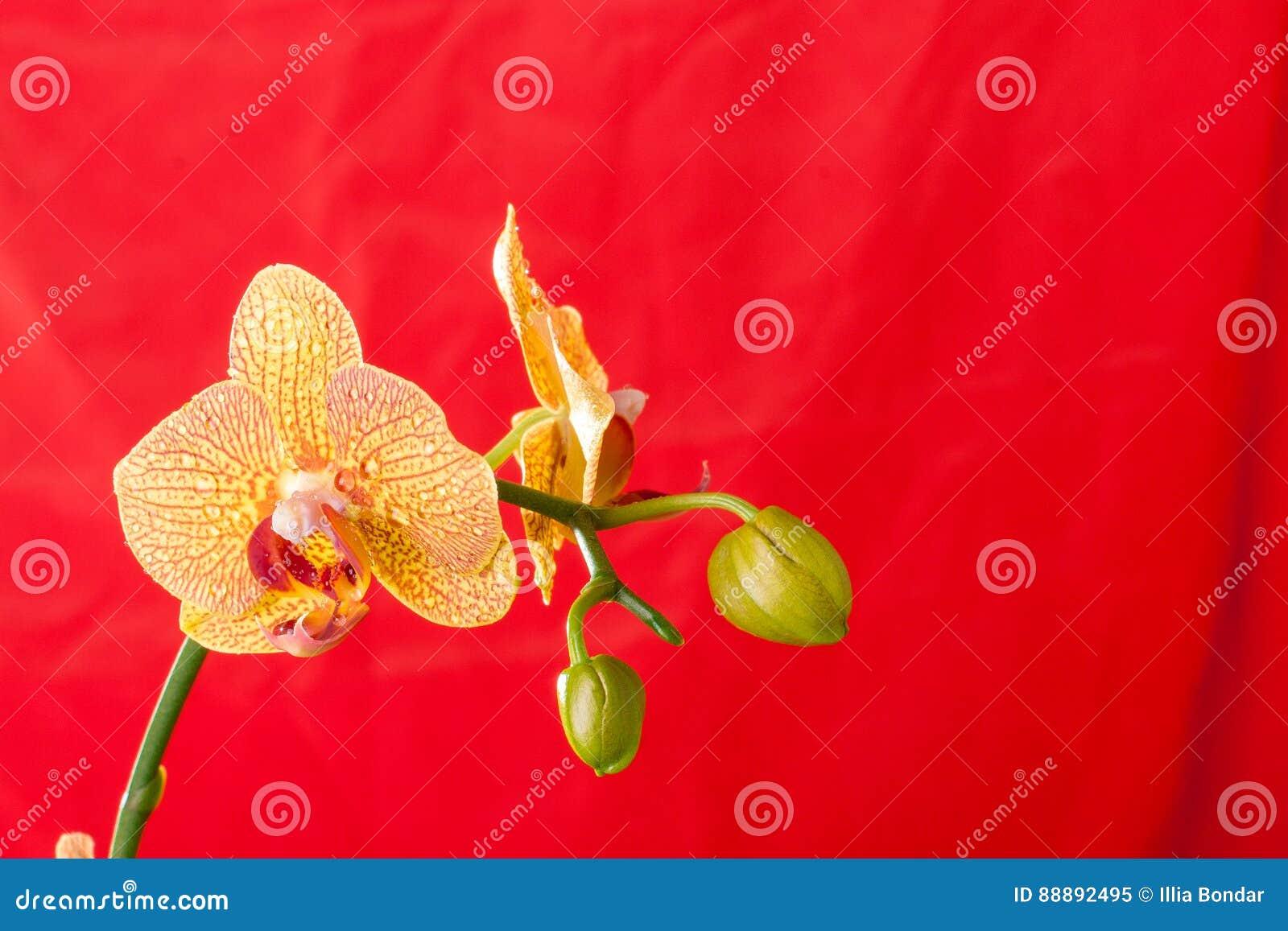 黄色和红色兰花宏指令用水下降 兰花植物