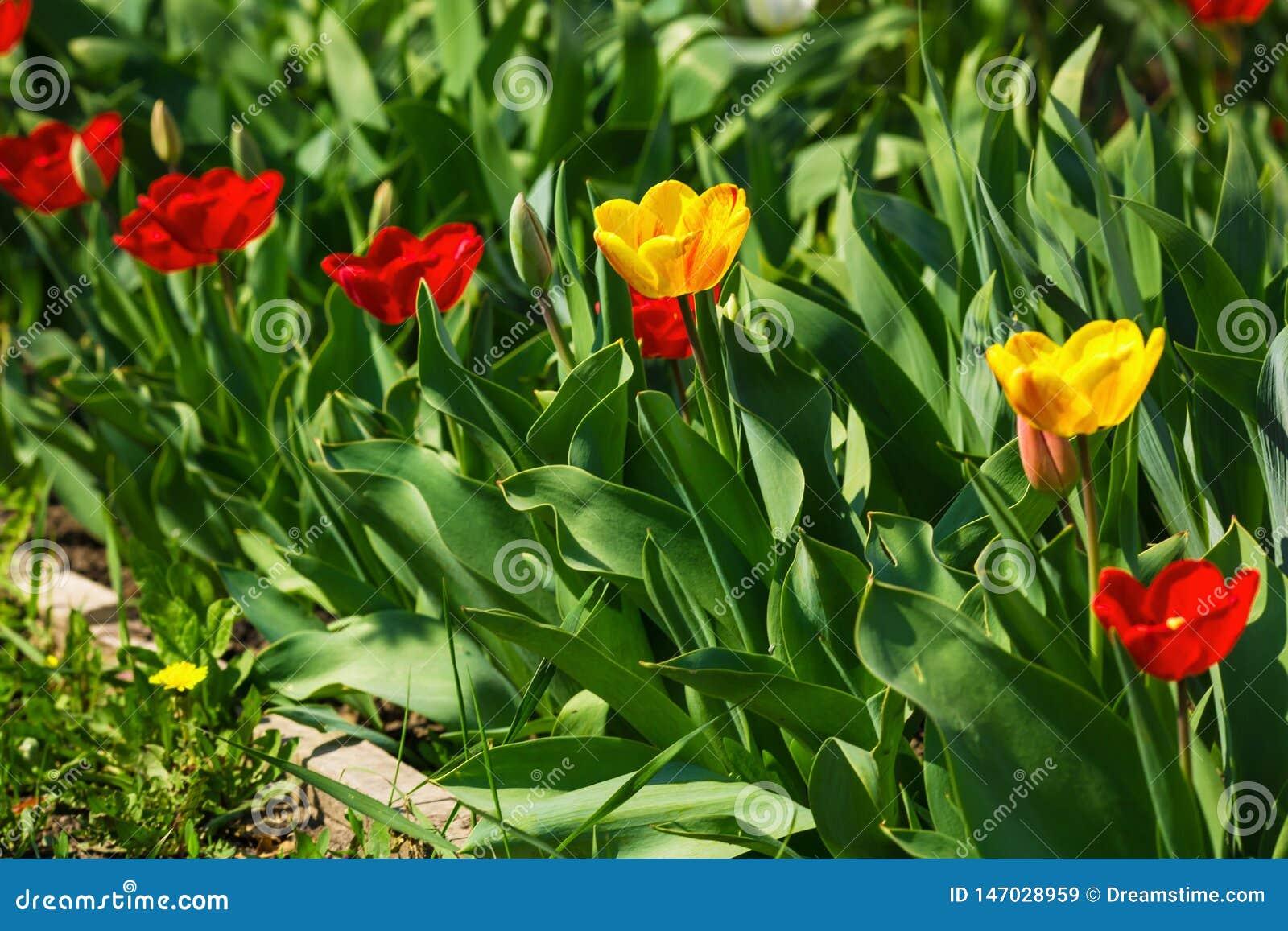 黄色和红色郁金香在一好日子