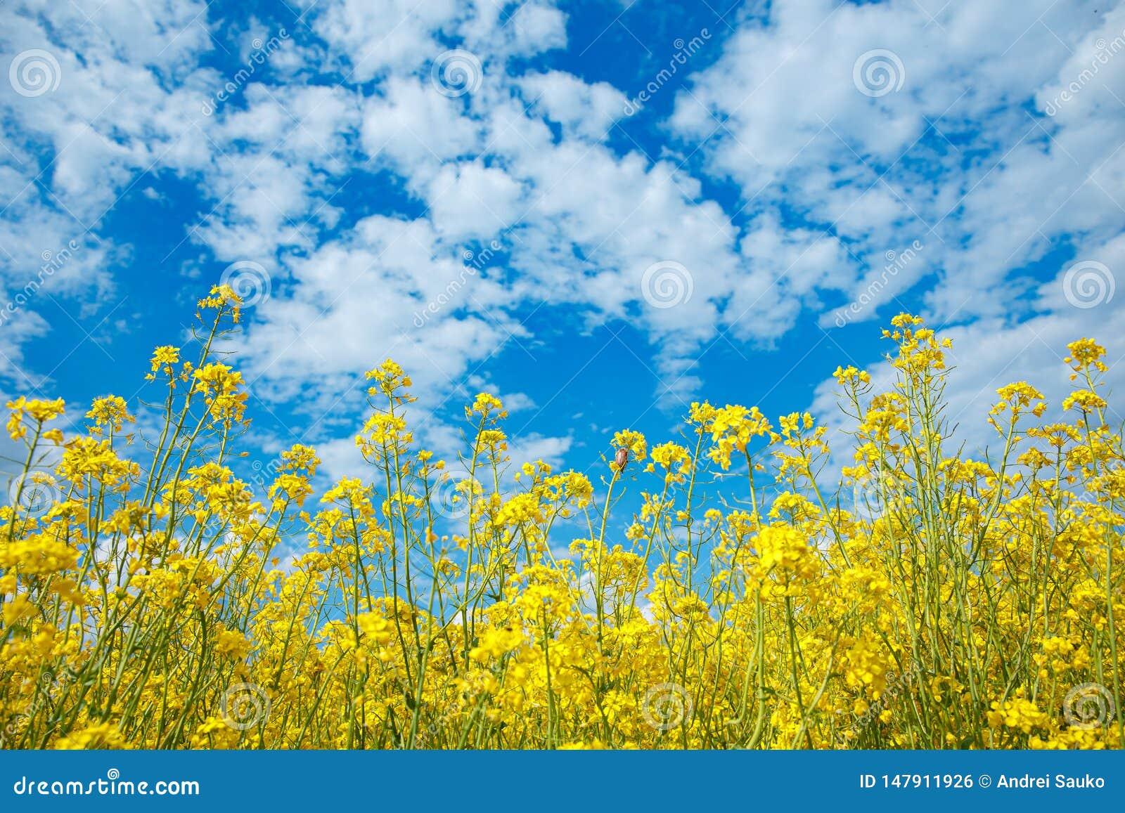 黄色开花的强奸和天空蔚蓝的领域