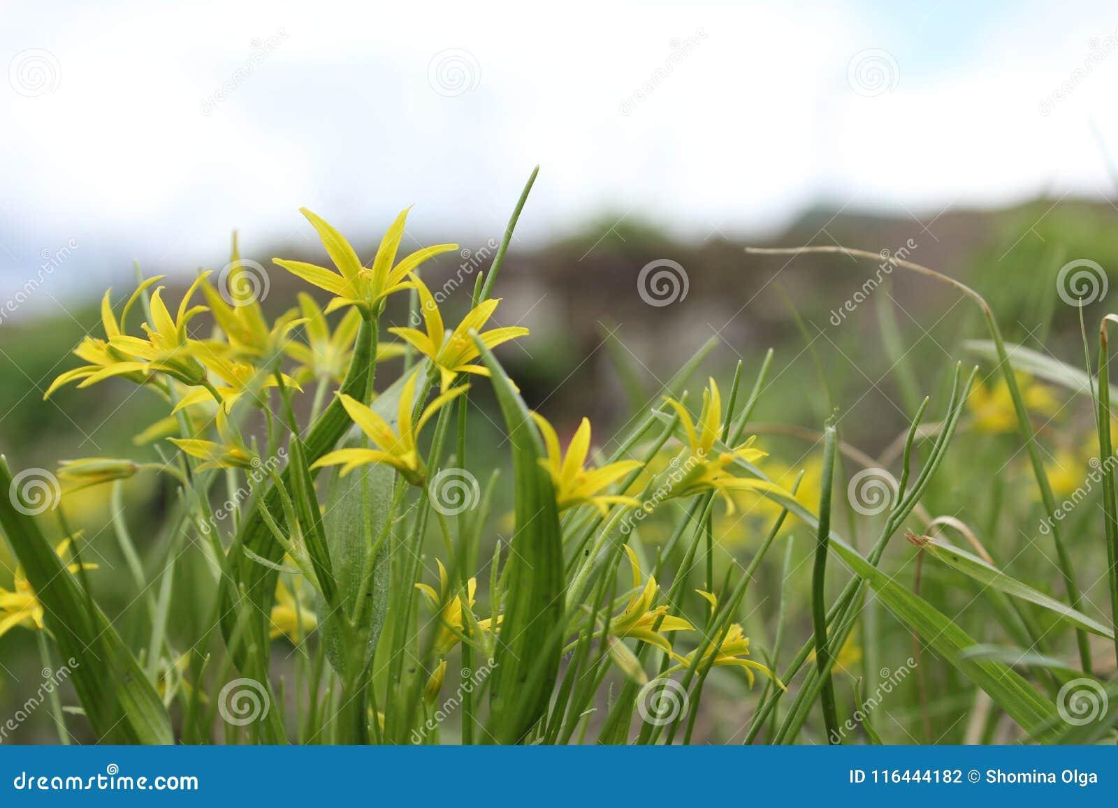 黄色报春花- gagea
