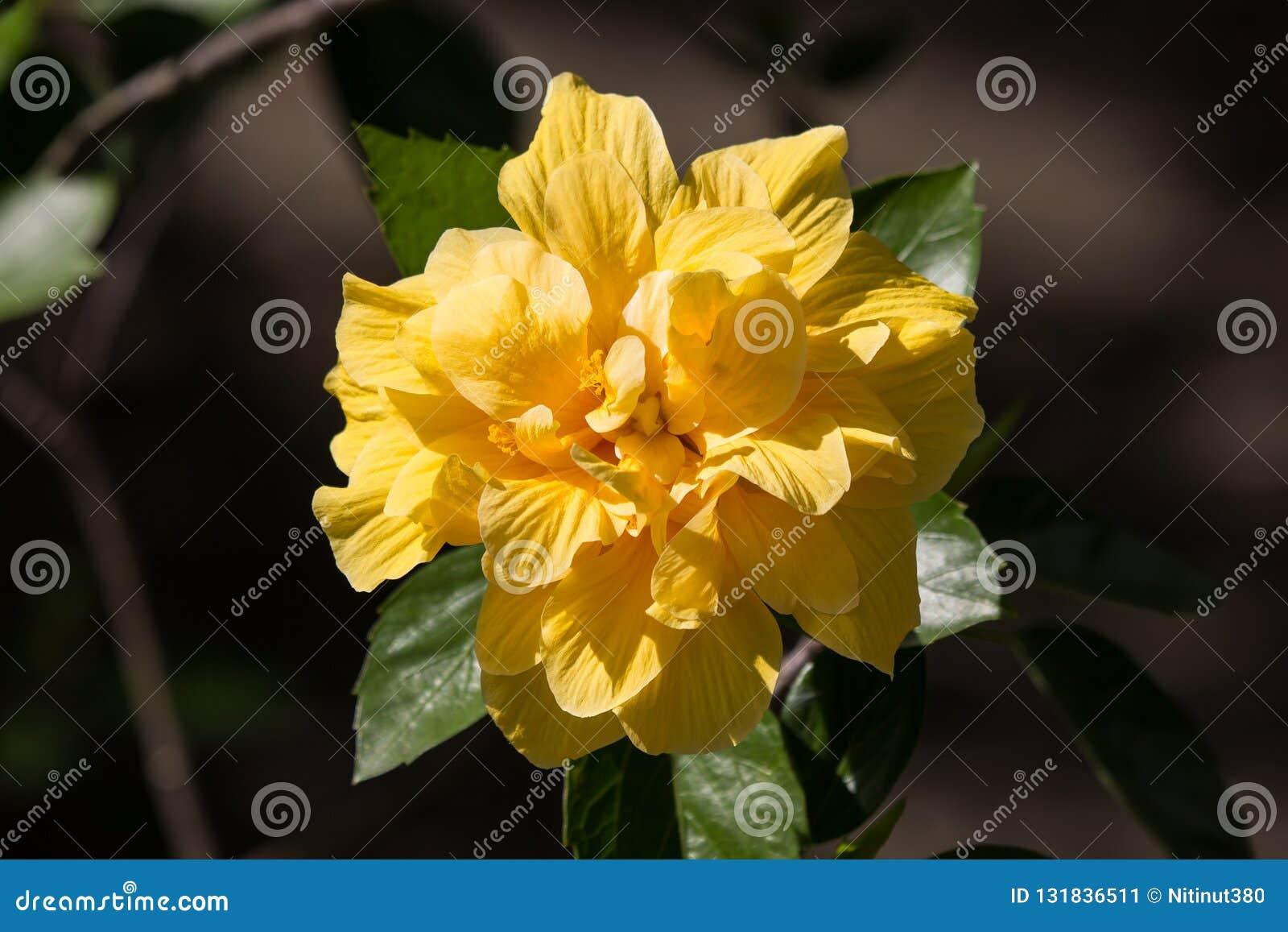 黄色木槿花在黑dard背景中