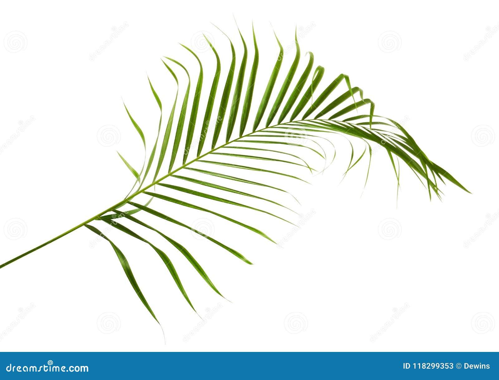 黄色棕榈叶Dypsis lutescens或金黄藤茎棕榈,槟榔树棕榈叶,在白色背景隔绝的热带叶子