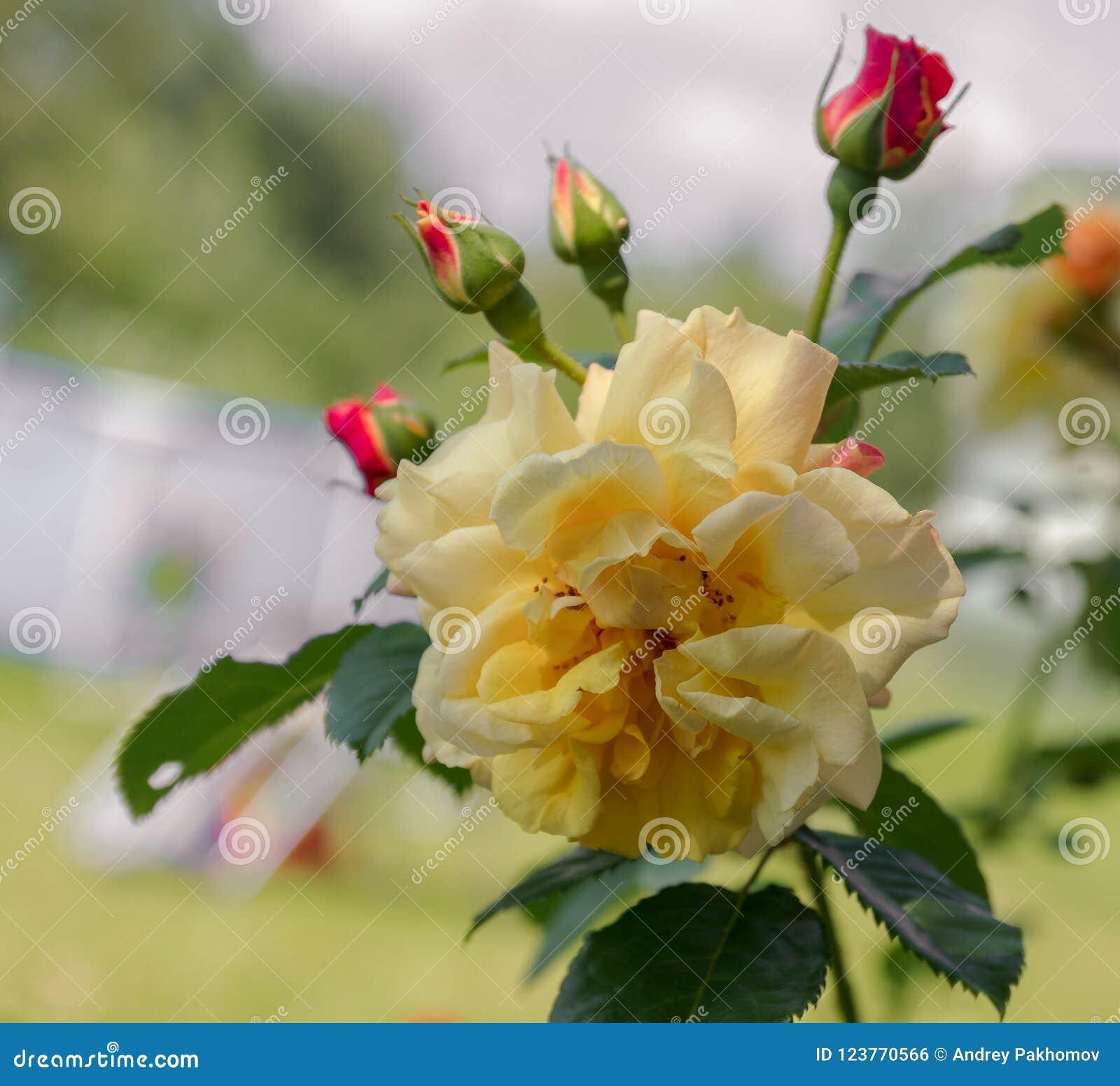 黄色玫瑰意味明亮,快乐和快乐造成温暖的感觉并且提供幸福 他们带来您和