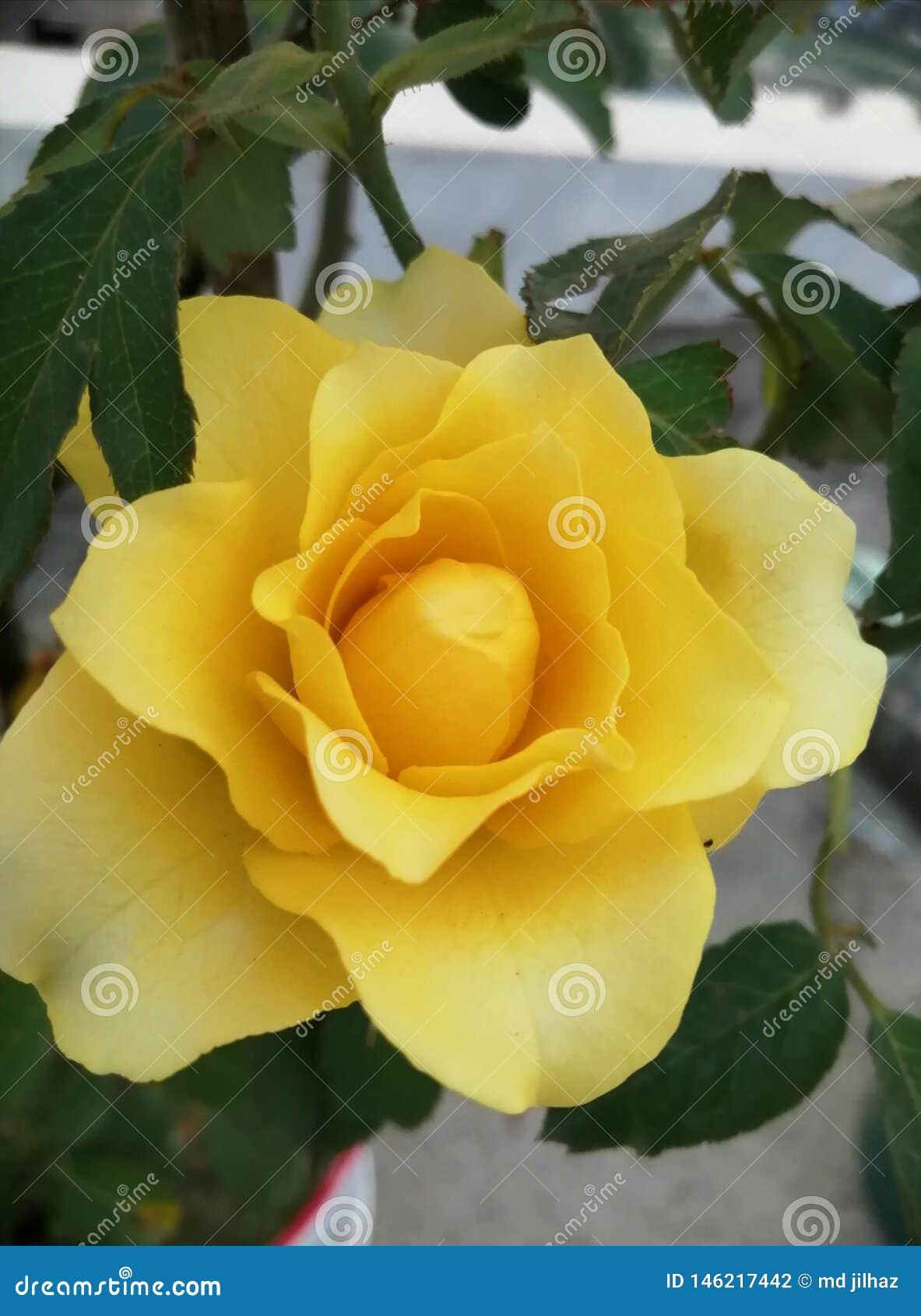 黄色玫瑰色图象
