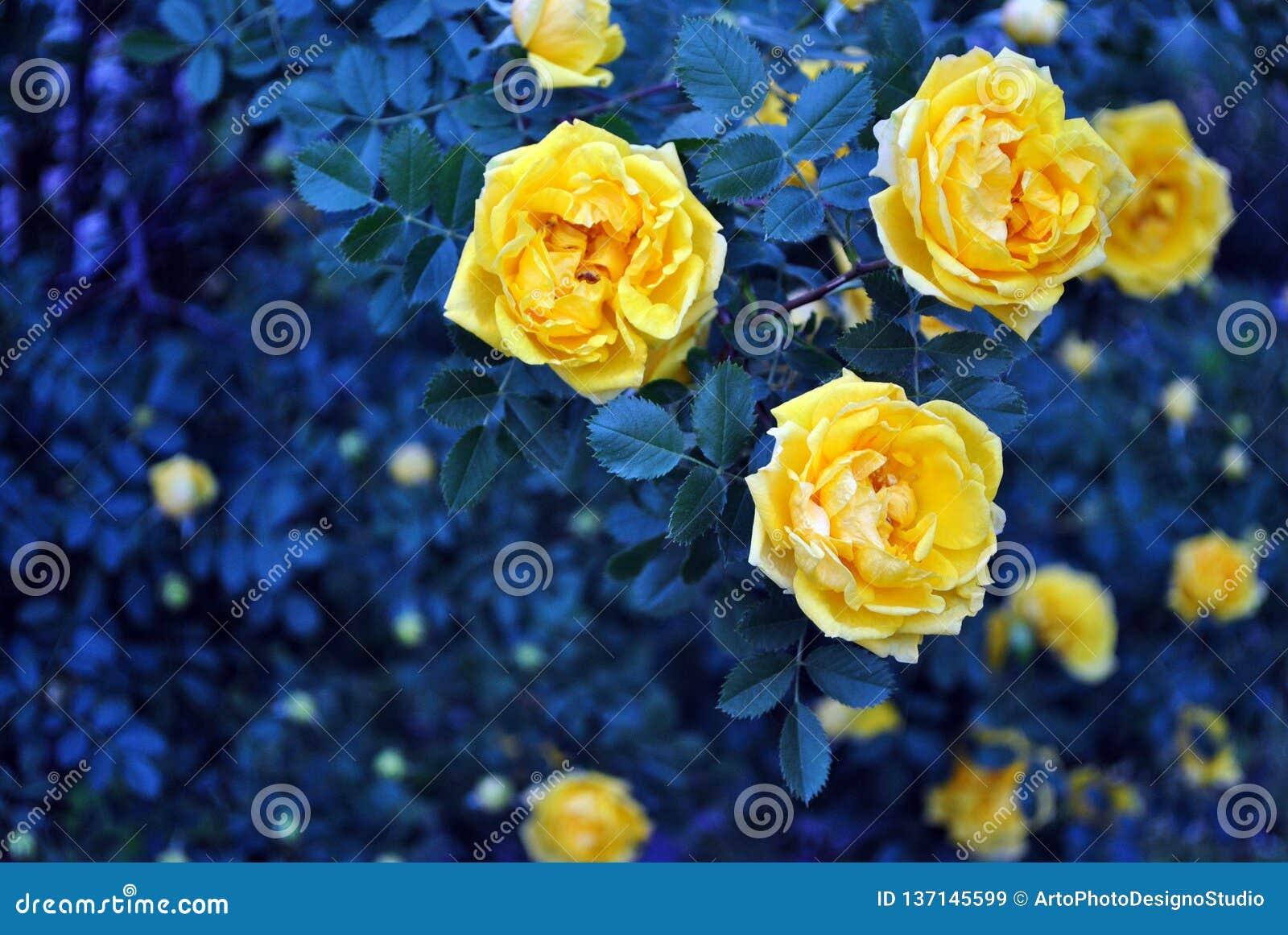 黄色玫瑰色开花在灌木,黑暗的绿松石绿的叶子背景的花和芽