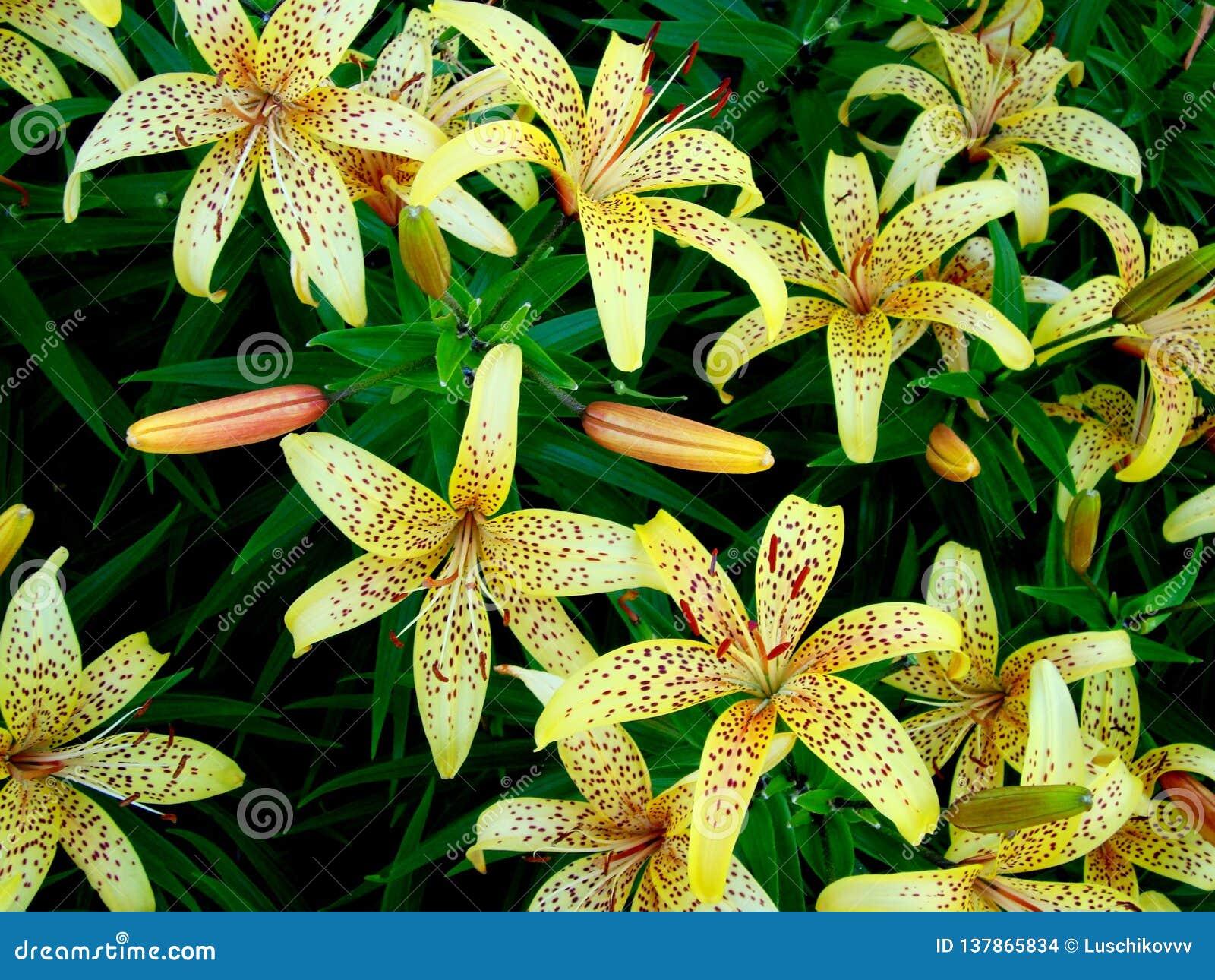 黄色百合花束在庭院里