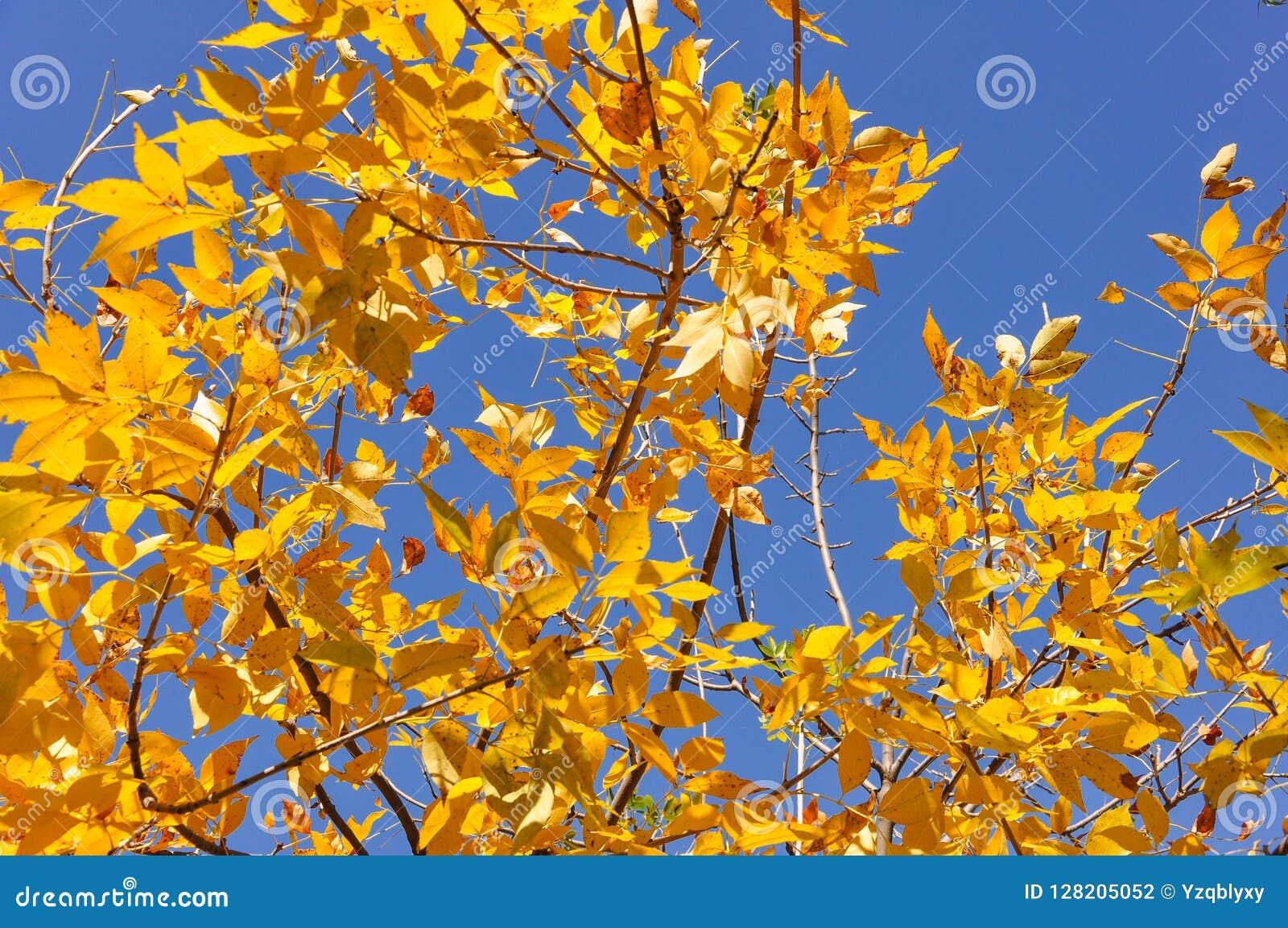 黄色离开与蓝天背景在秋天