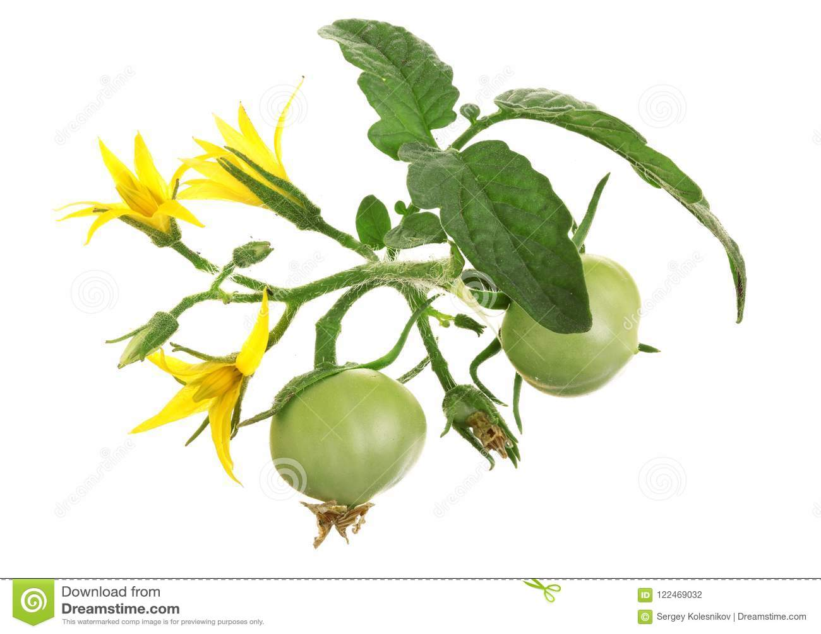黄色花用在whtie背景隔绝的绿色蕃茄