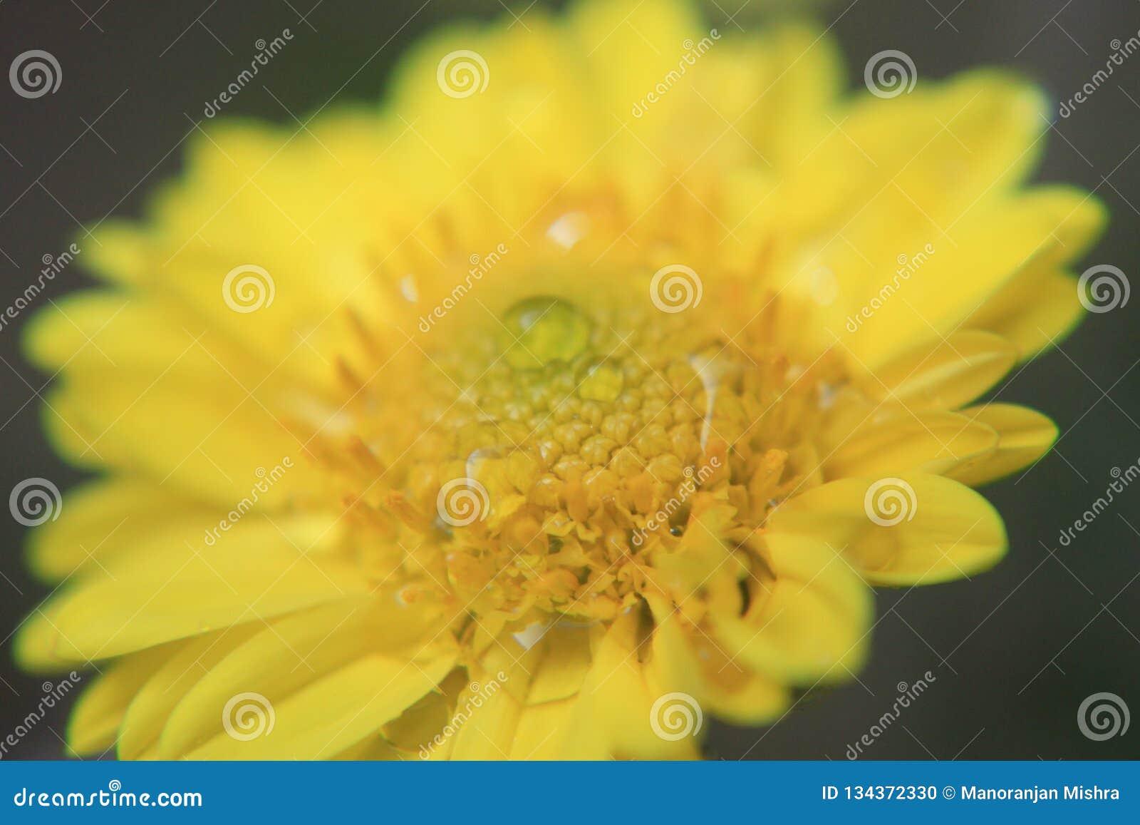 黄色花纹理、宏观样式、好看照片从一朵花在宏指令与露水或水下落对此
