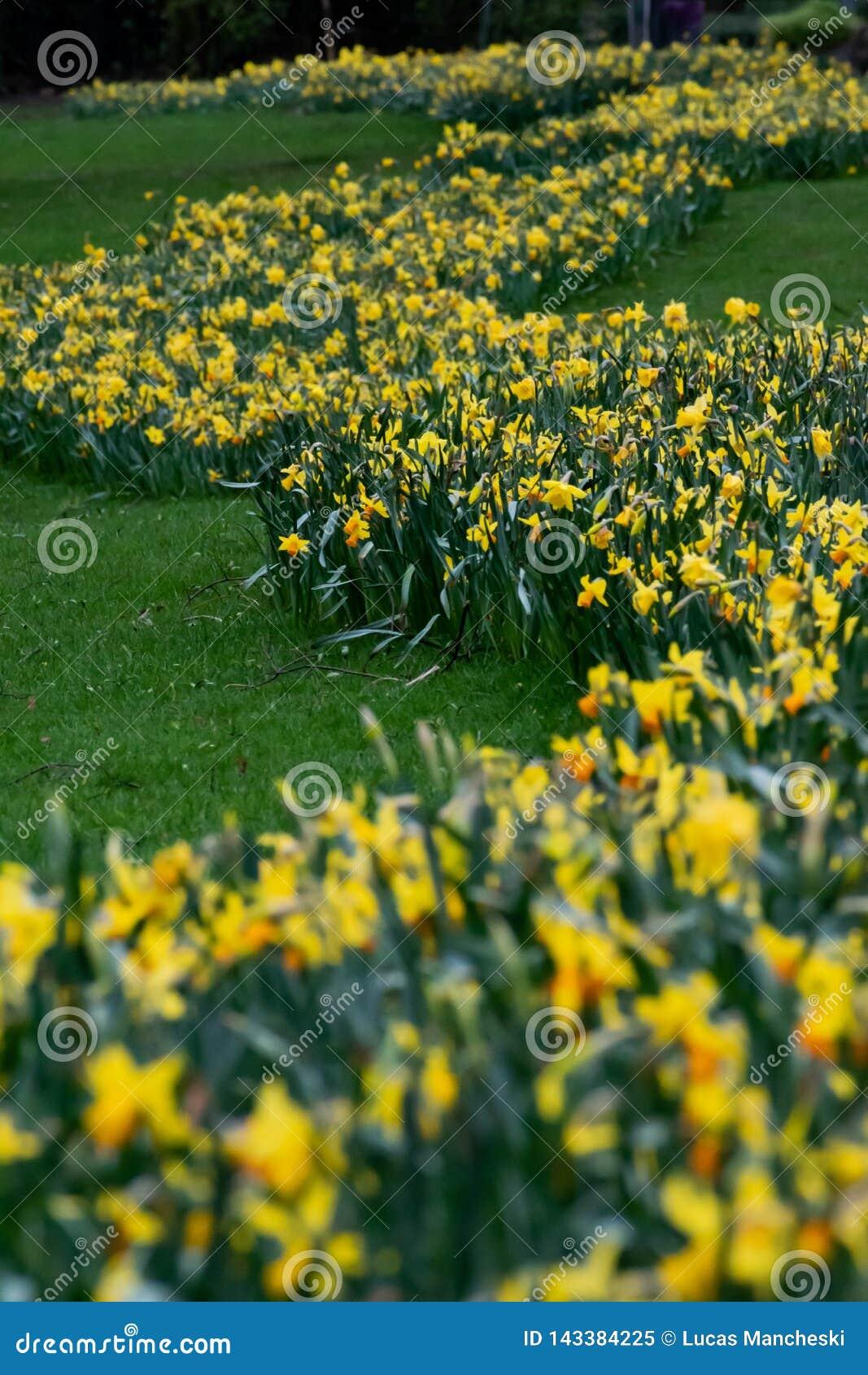 黄色花足迹