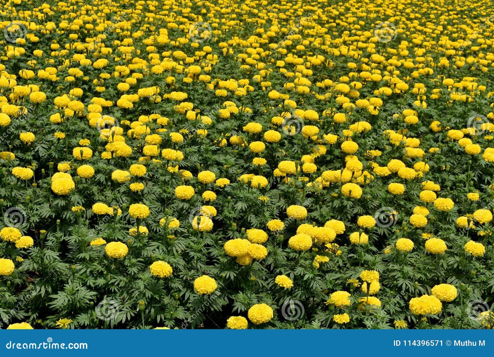 黄色菊花, Samanthi poo,菊花indicum