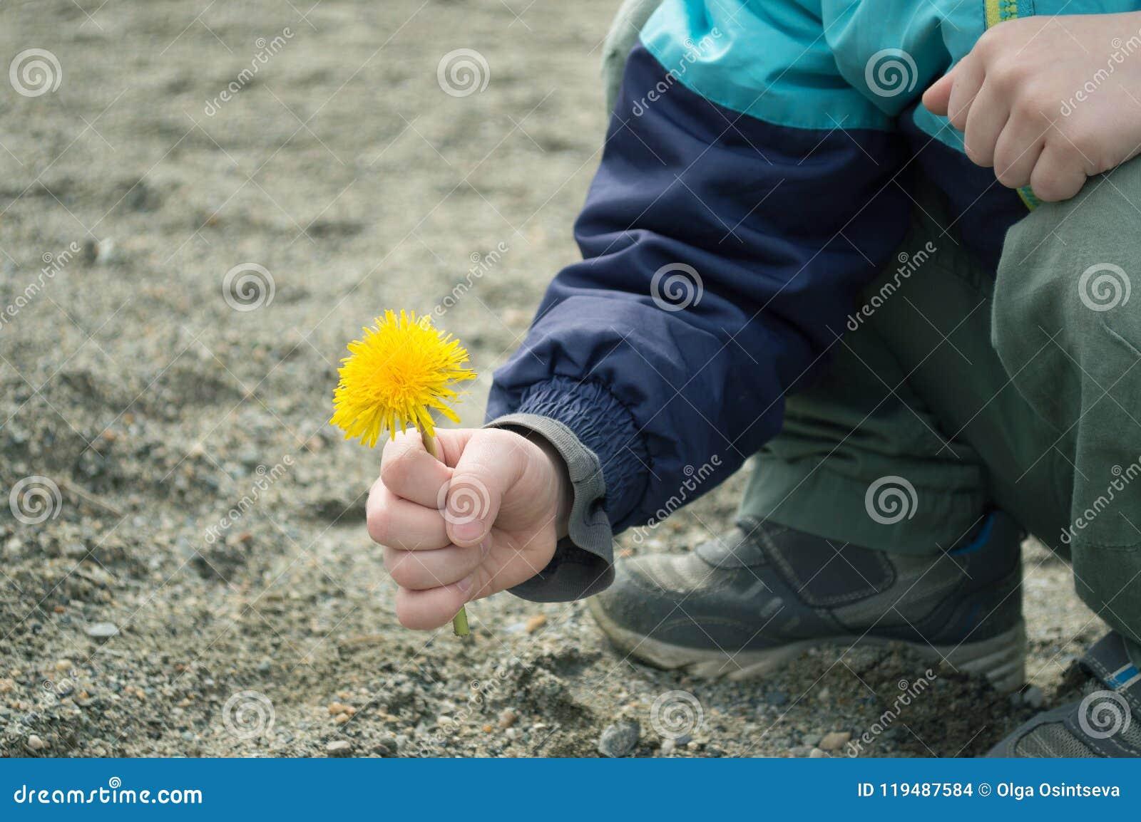 黄色蒲公英在男孩` s手上