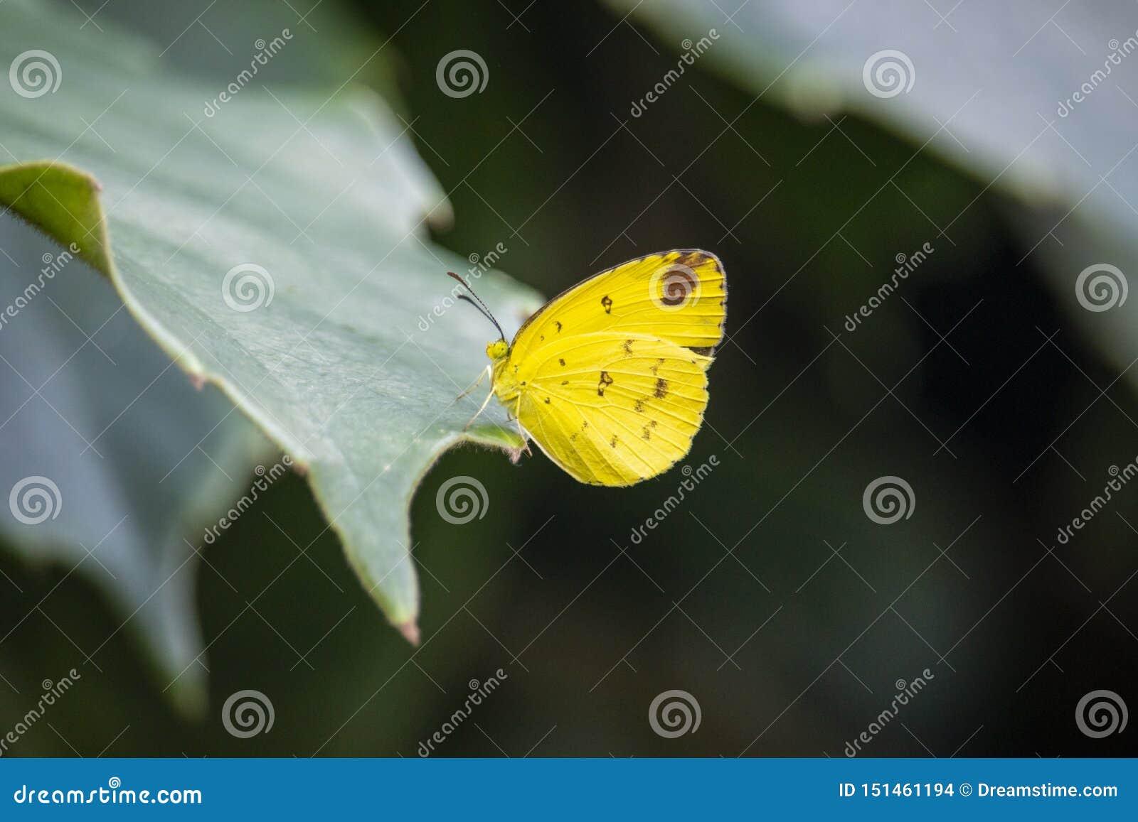 黄色蝴蝶坐叶子