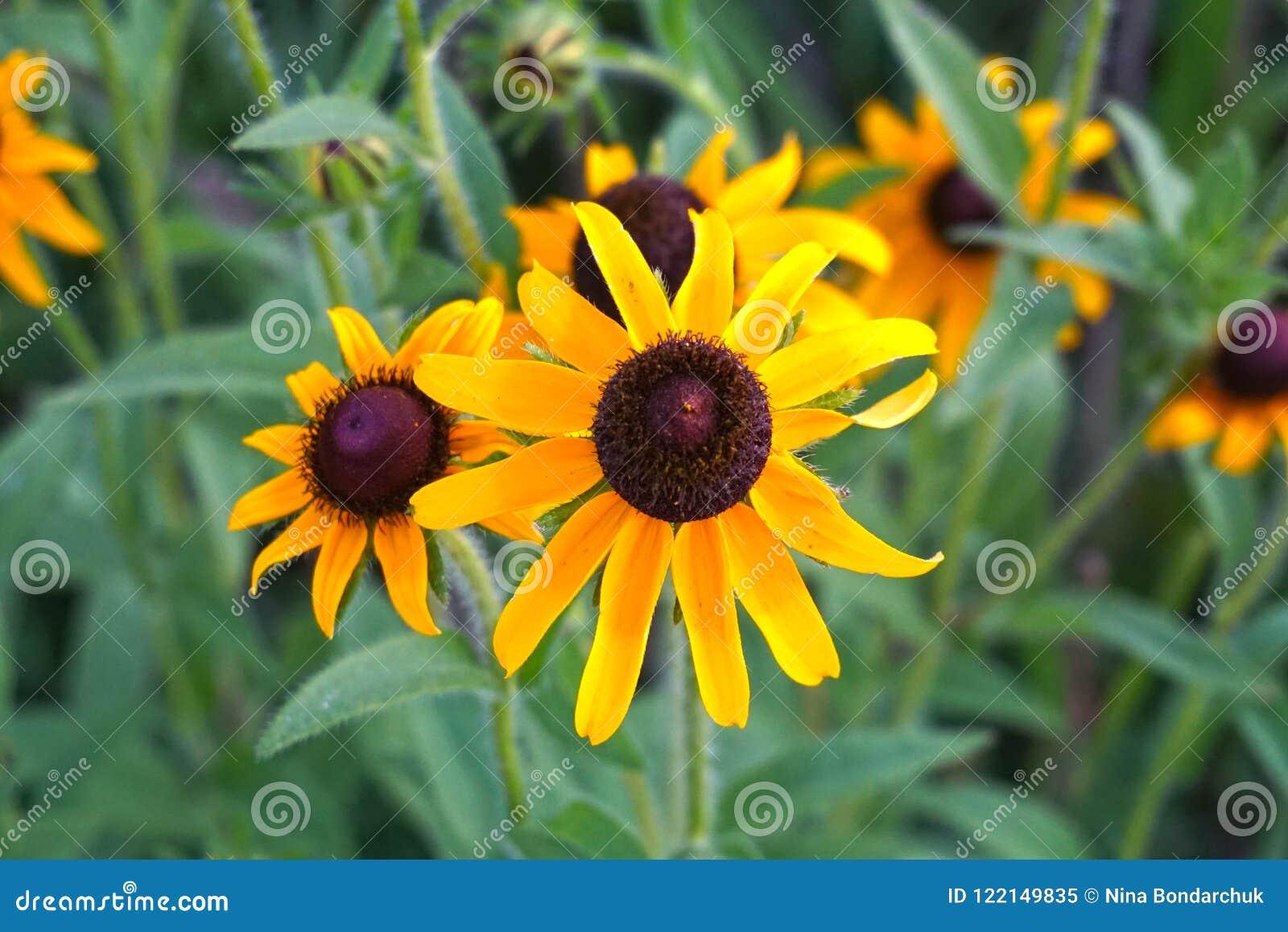黄色野生雏菊