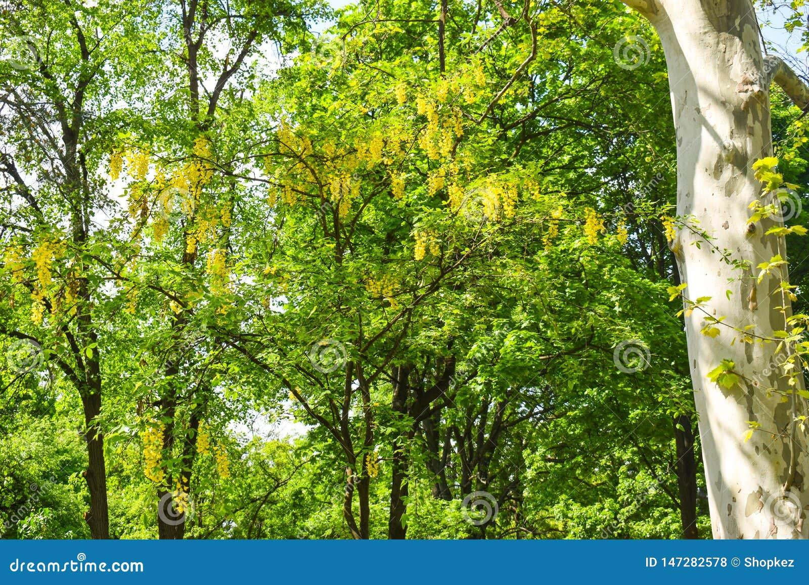 黄色金合欢树在城市公园在一个美好的晴朗的春日