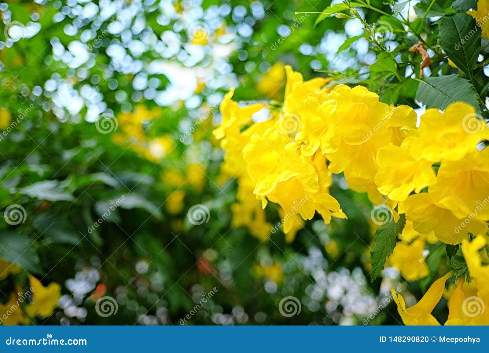 黄色长辈或黄色Trumpetbush花开花在树