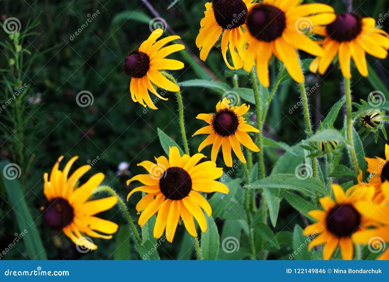 黄色雏菊,向日葵