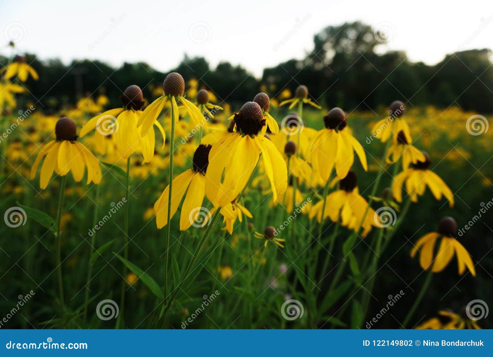 黄色雏菊,春黄菊