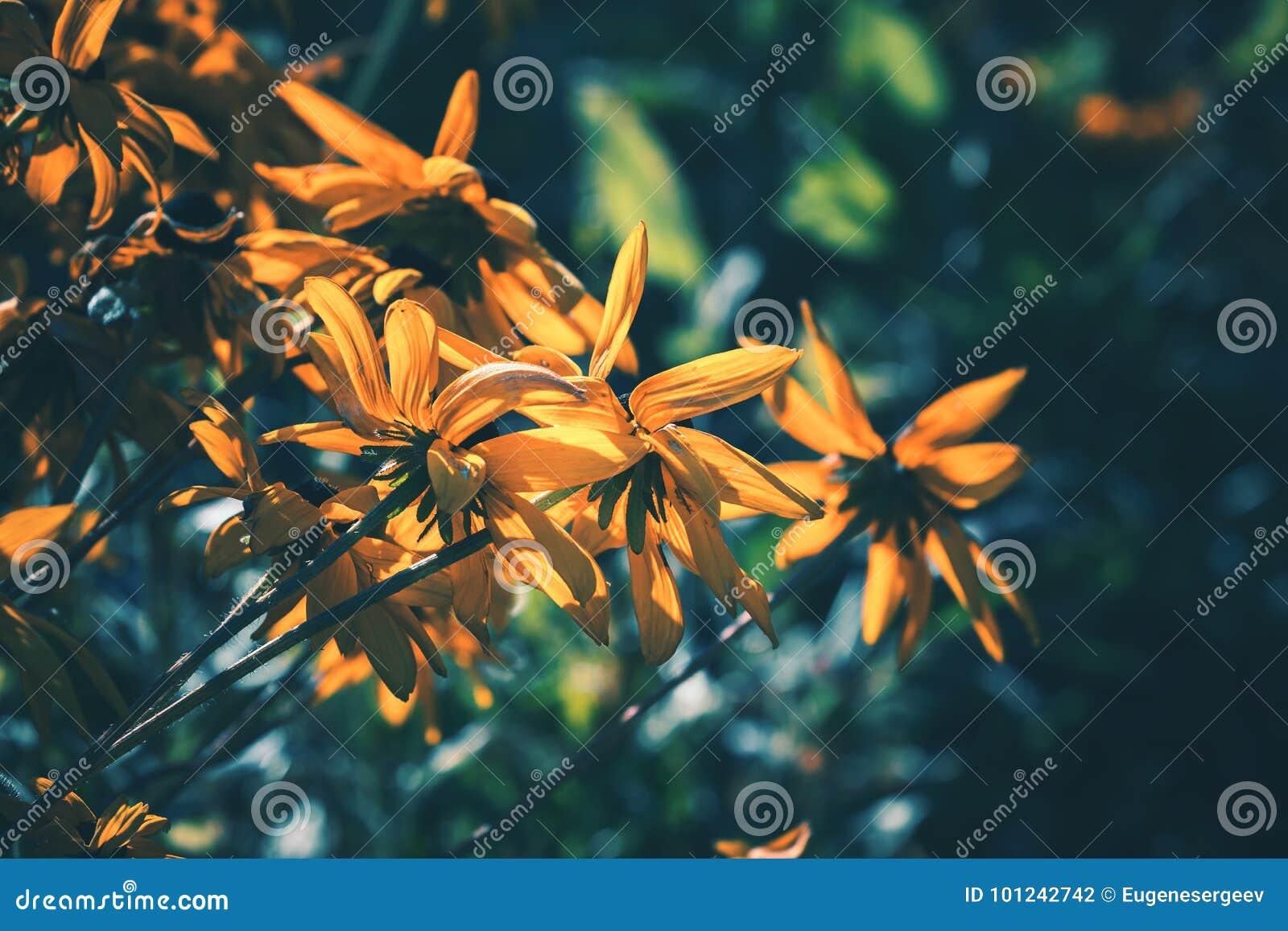 黄色黄金菊或黑眼睛的苏珊花