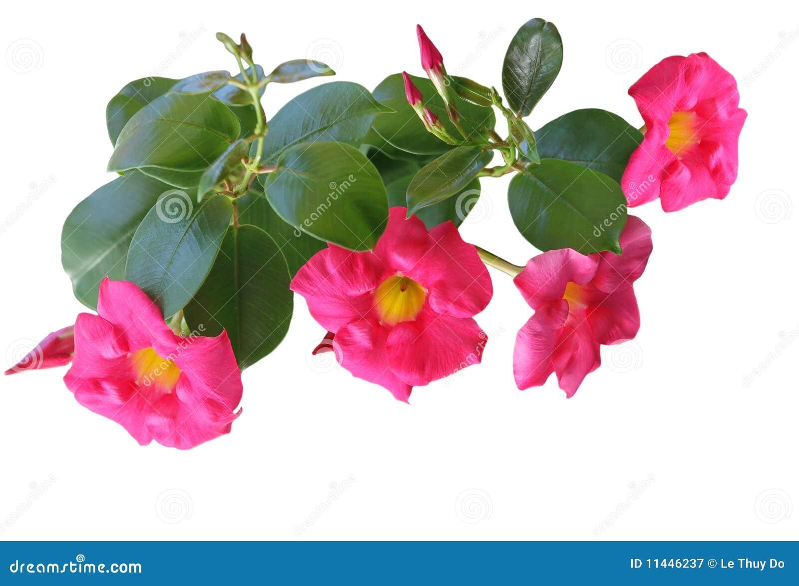 黄蔓mandevilla粉红色